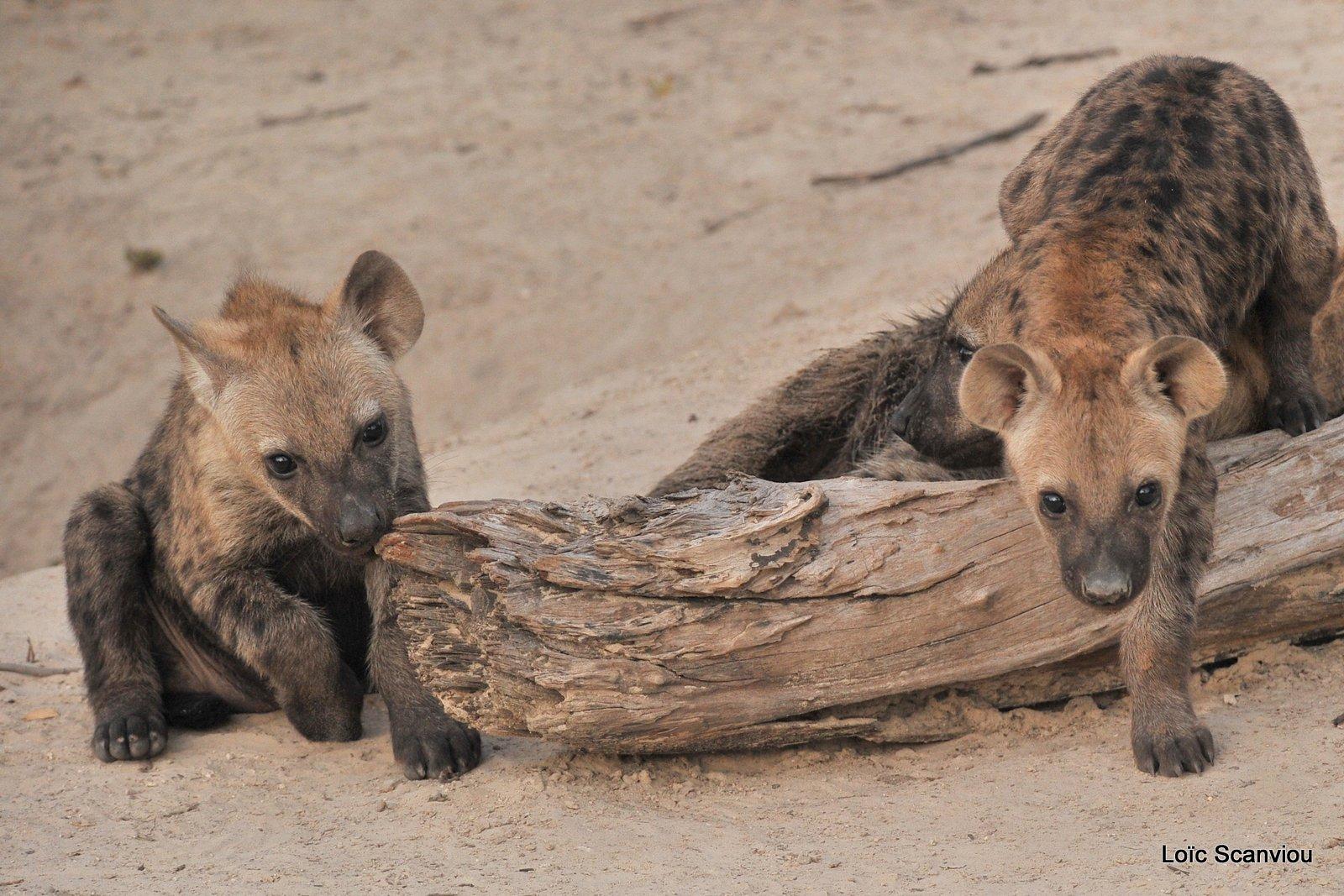 Hyène tachetée/Spotted Hyena (10)