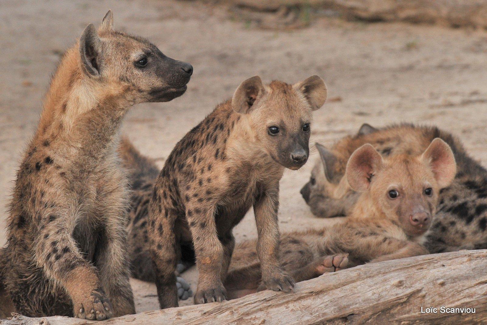 Hyène tachetée/Spotted Hyena (12)