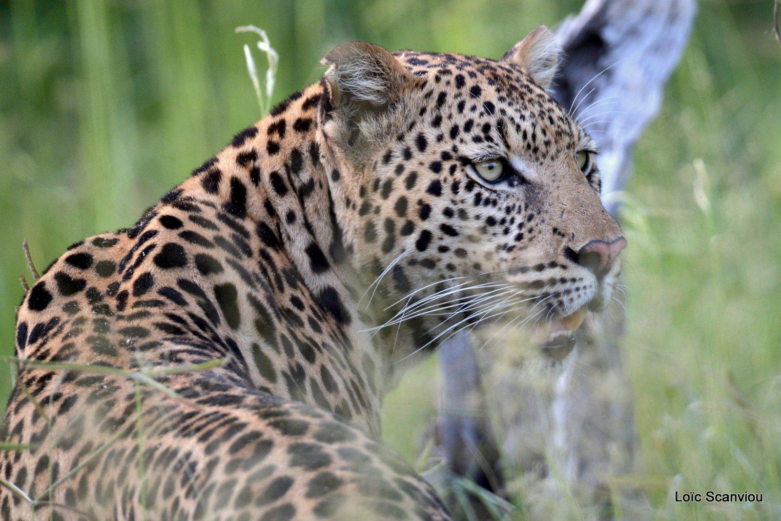 Léopard/Leopard (5)