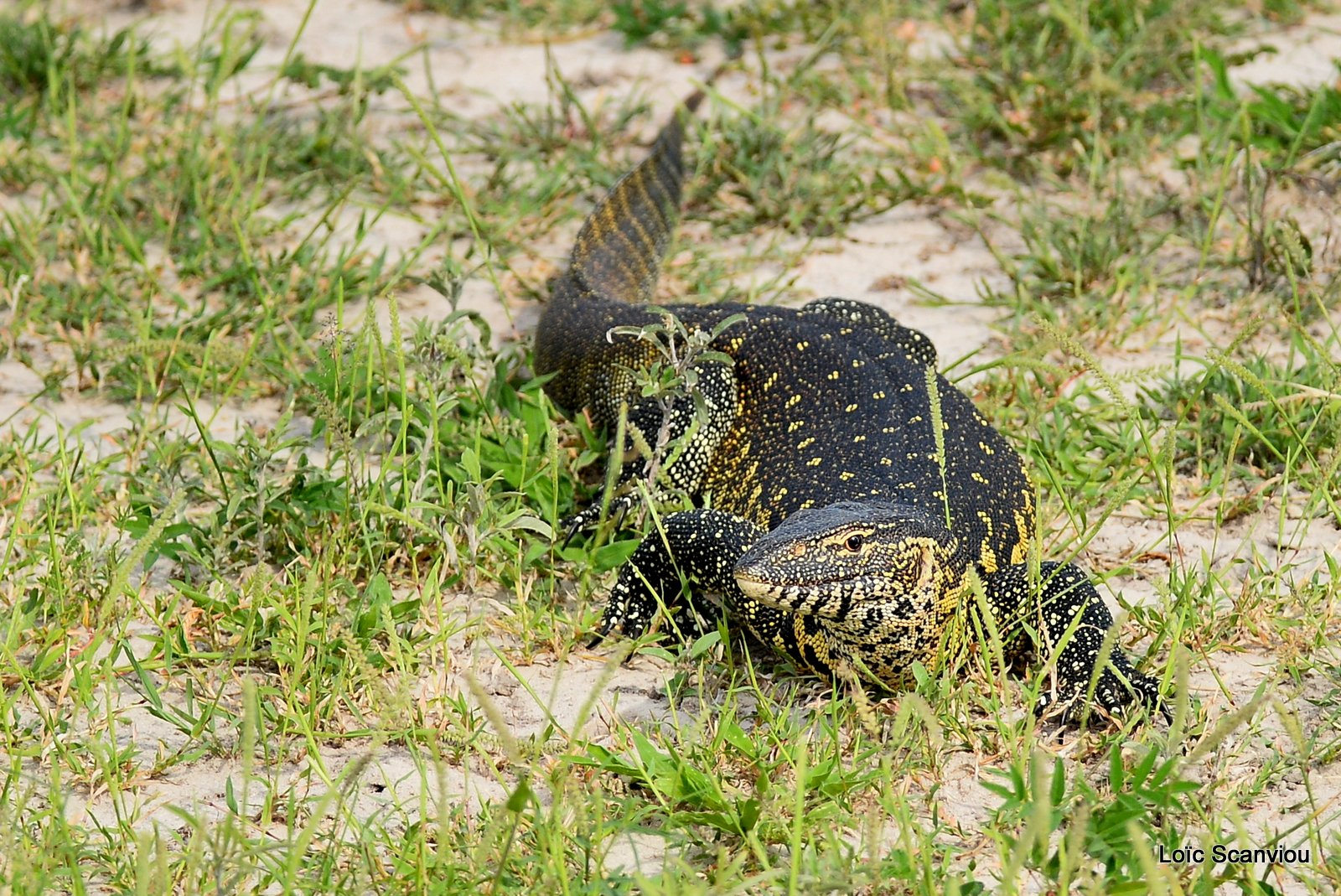 Varan du Nil/Nile Monitor Lizard (1)