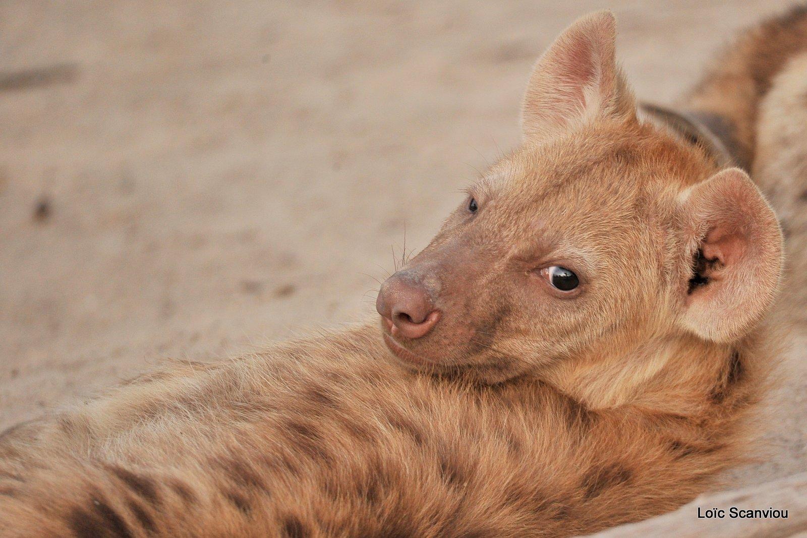 Hyène tachetée/Spotted Hyena (13)