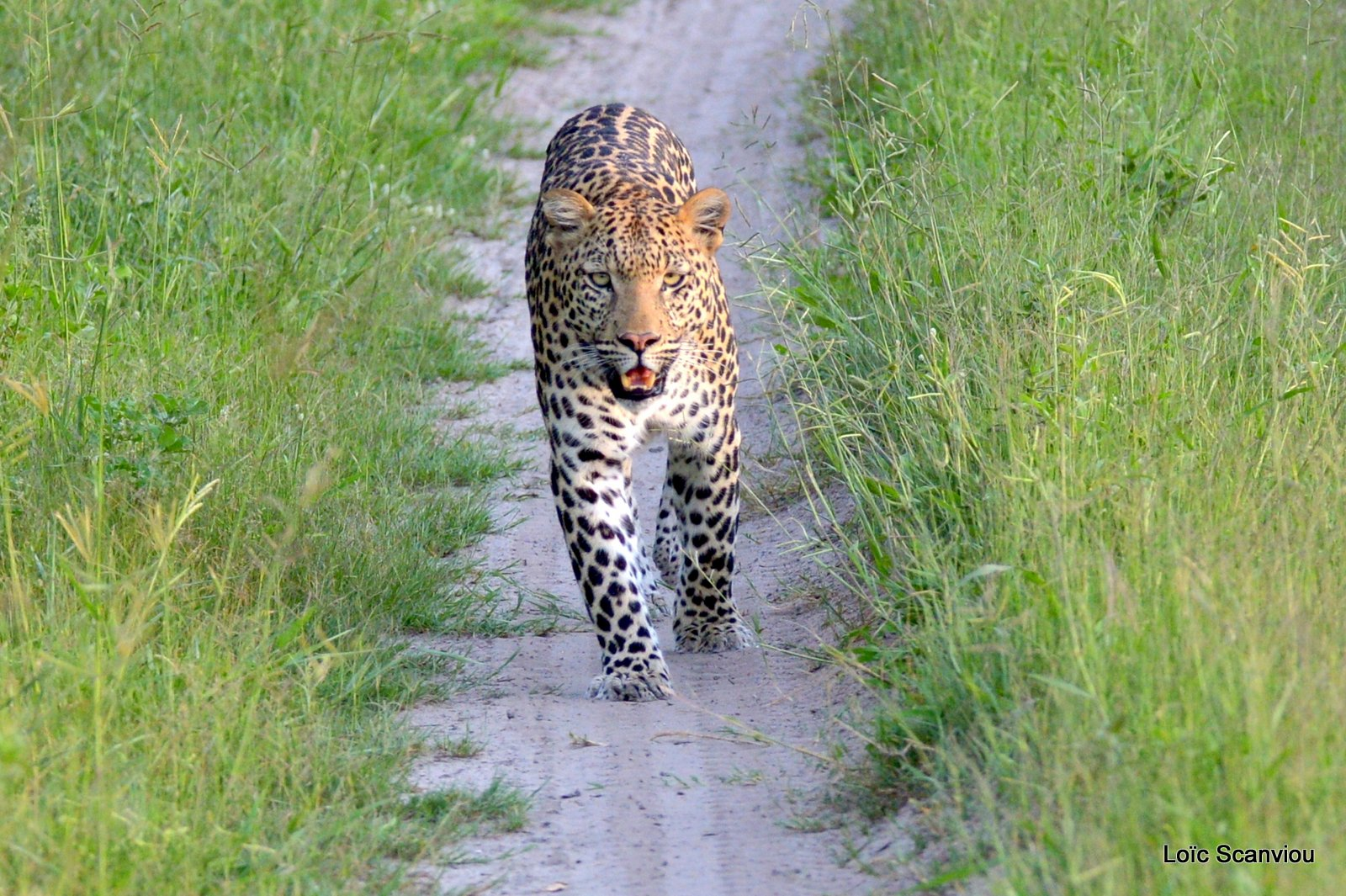 Léopard/Leopard (8)