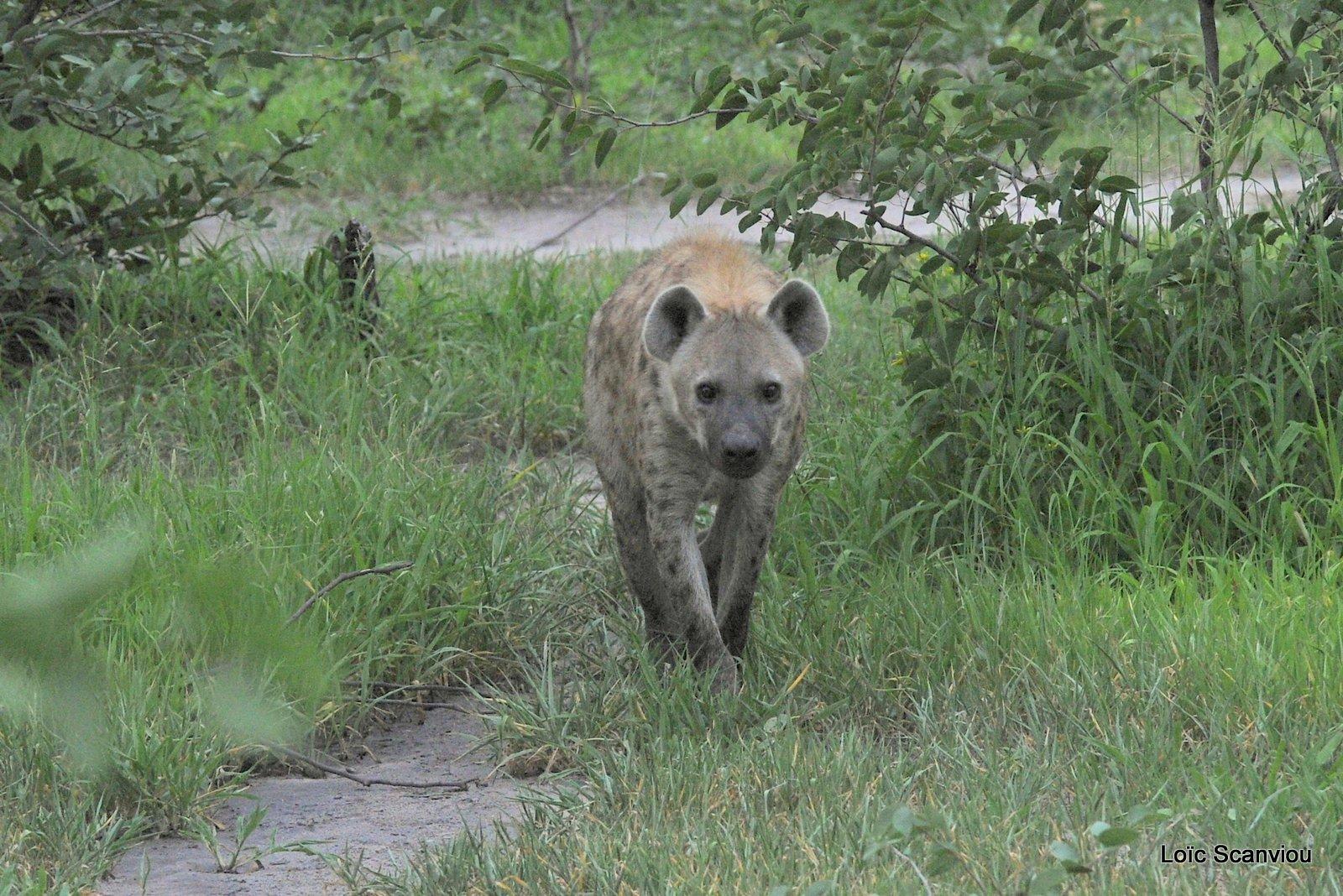 Hyène tachetée/Spotted Hyena (14)