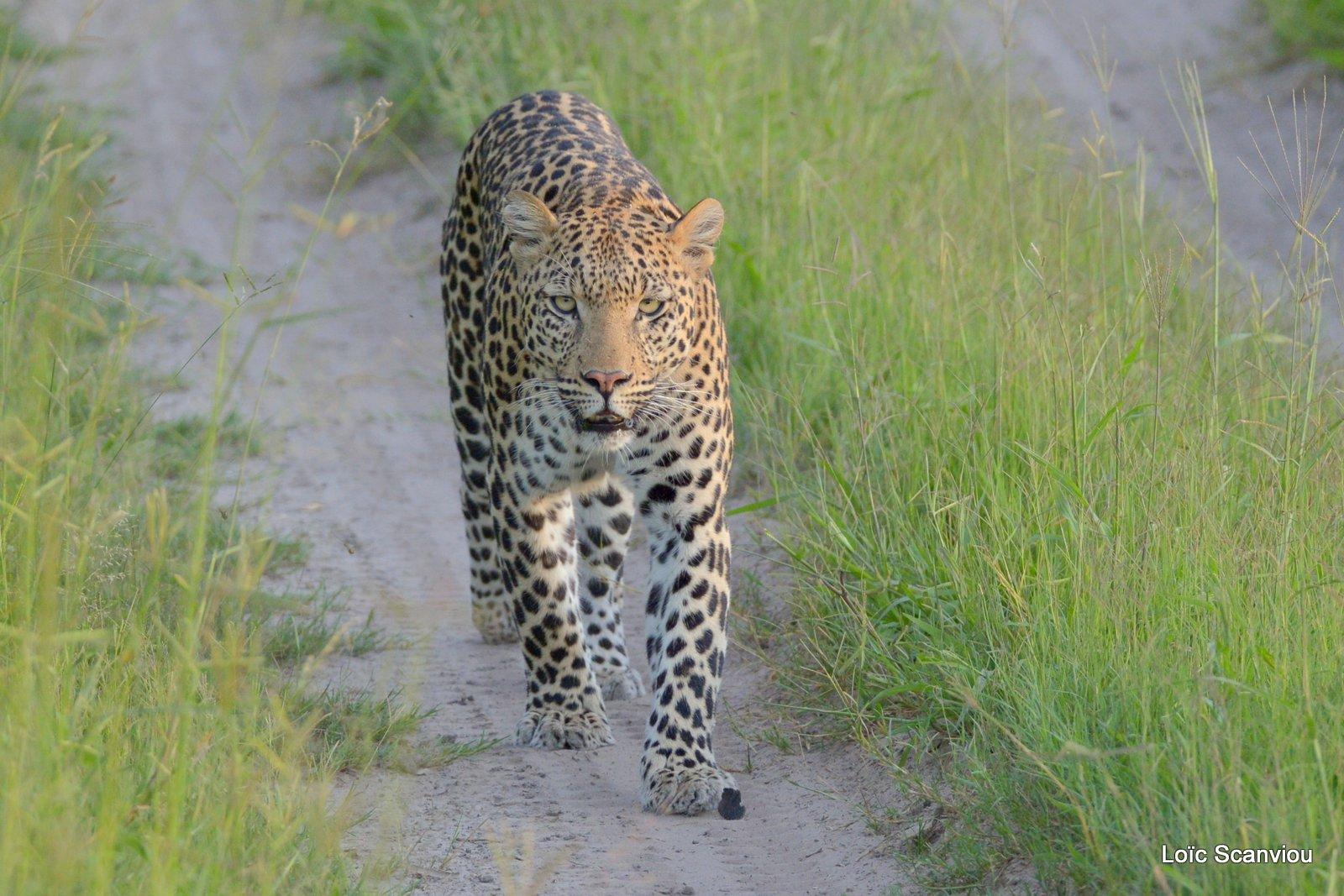 Léopard/Leopard (9)