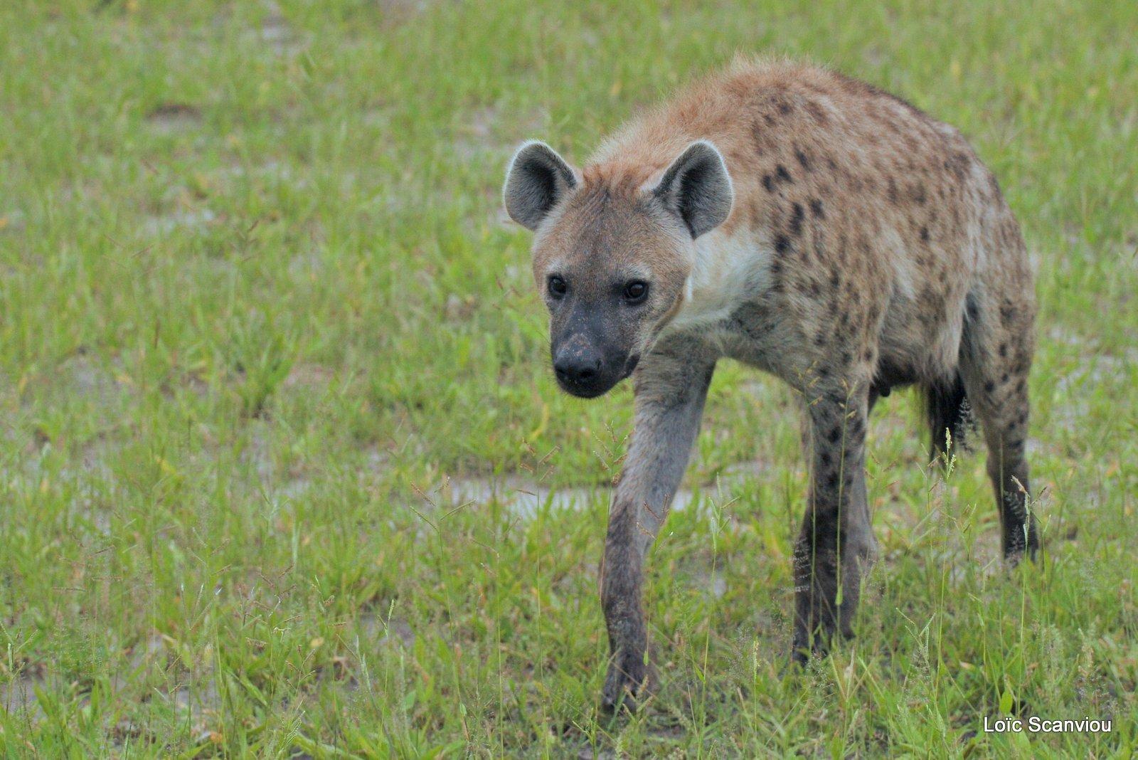 Hyène tachetée/Spotted Hyena (15)