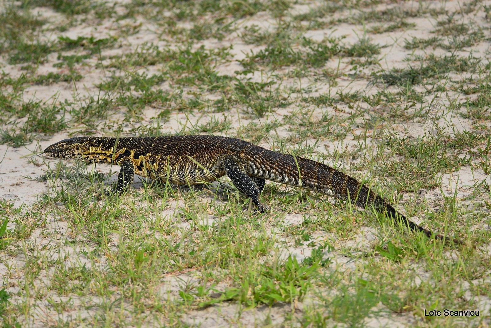 Varan du Nil/Nile Monitor Lizard (2)