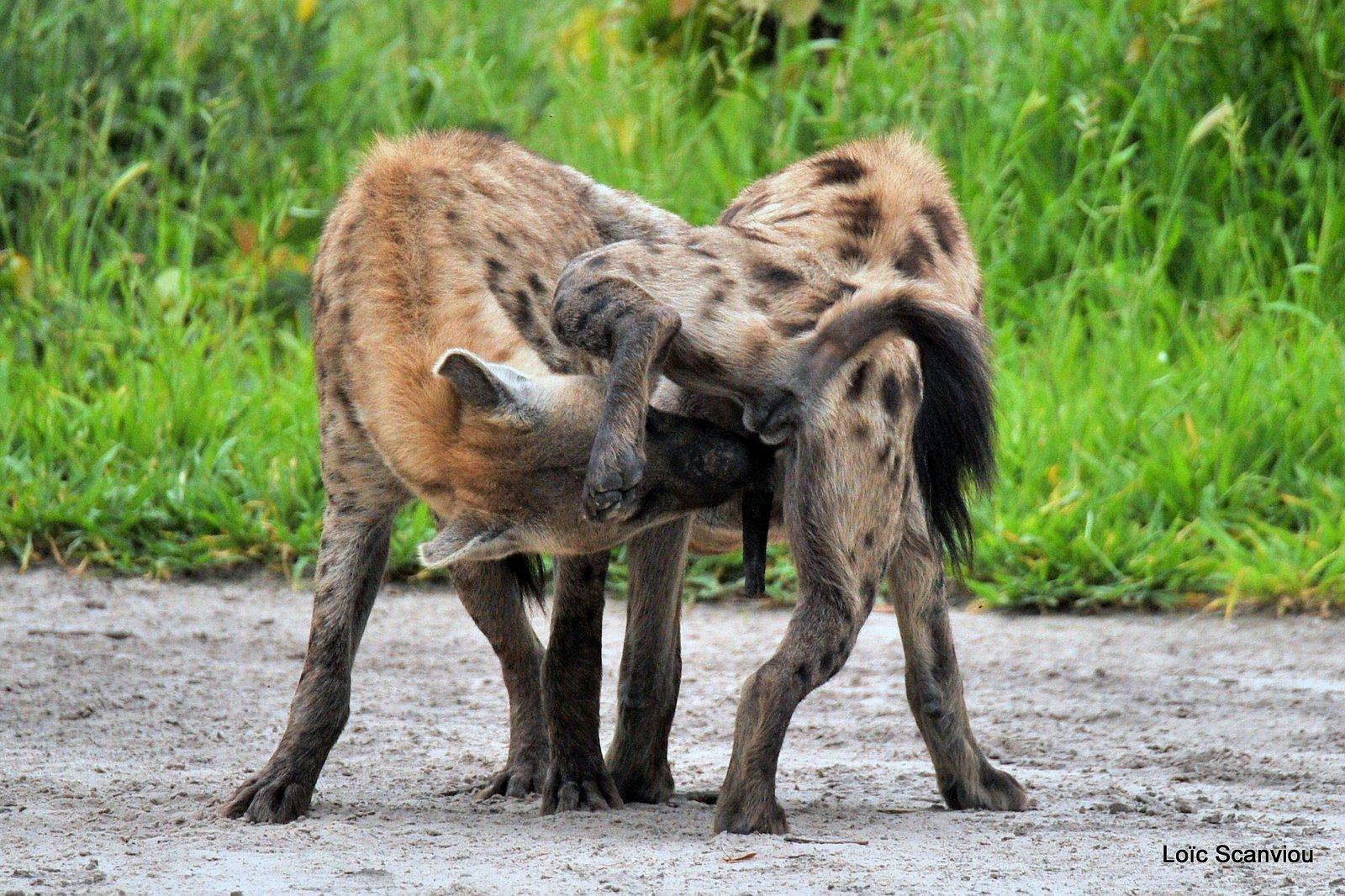 Hyène tachetée/Spotted Hyena (17)