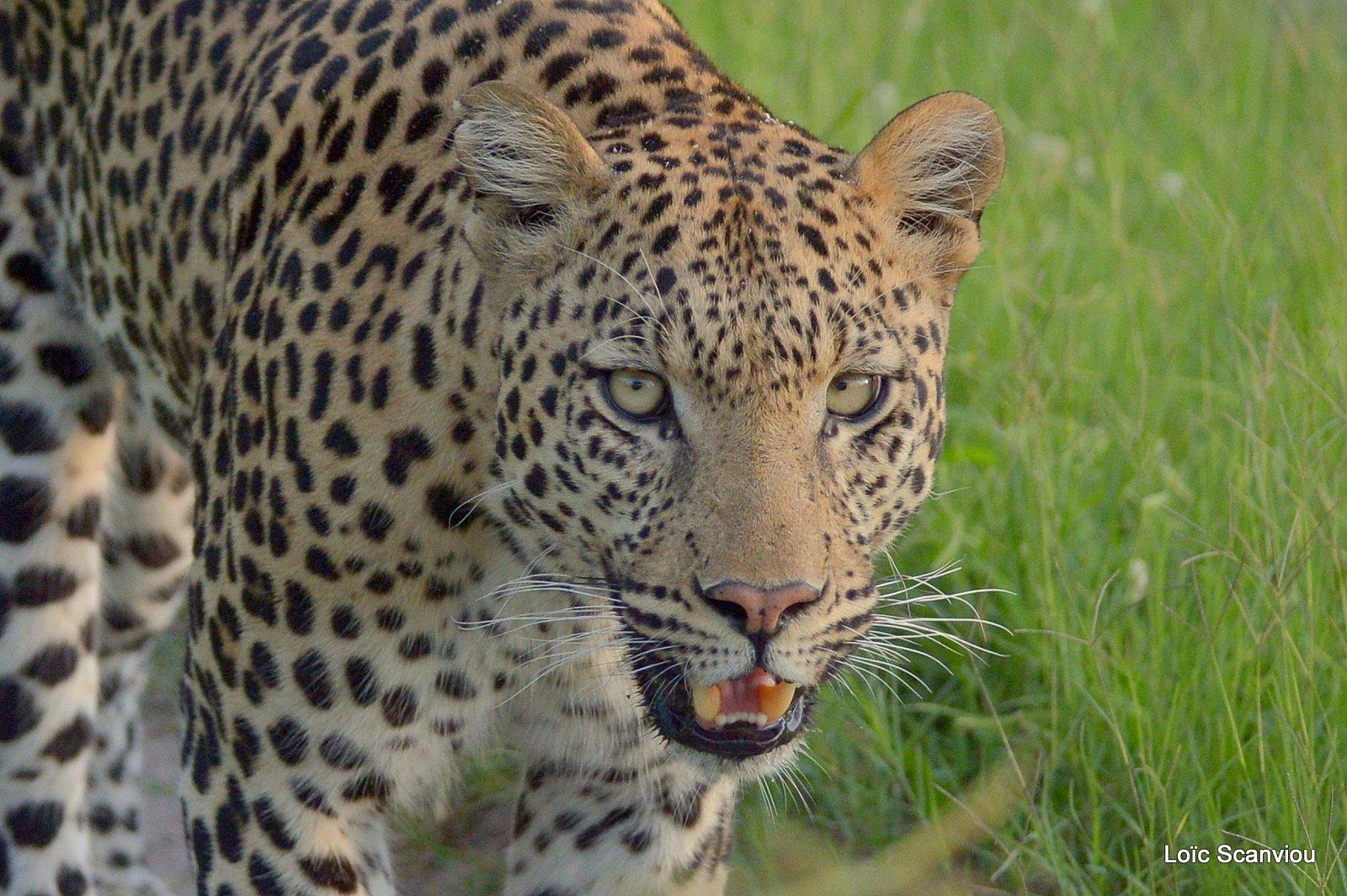 Léopard/Leopard (13)