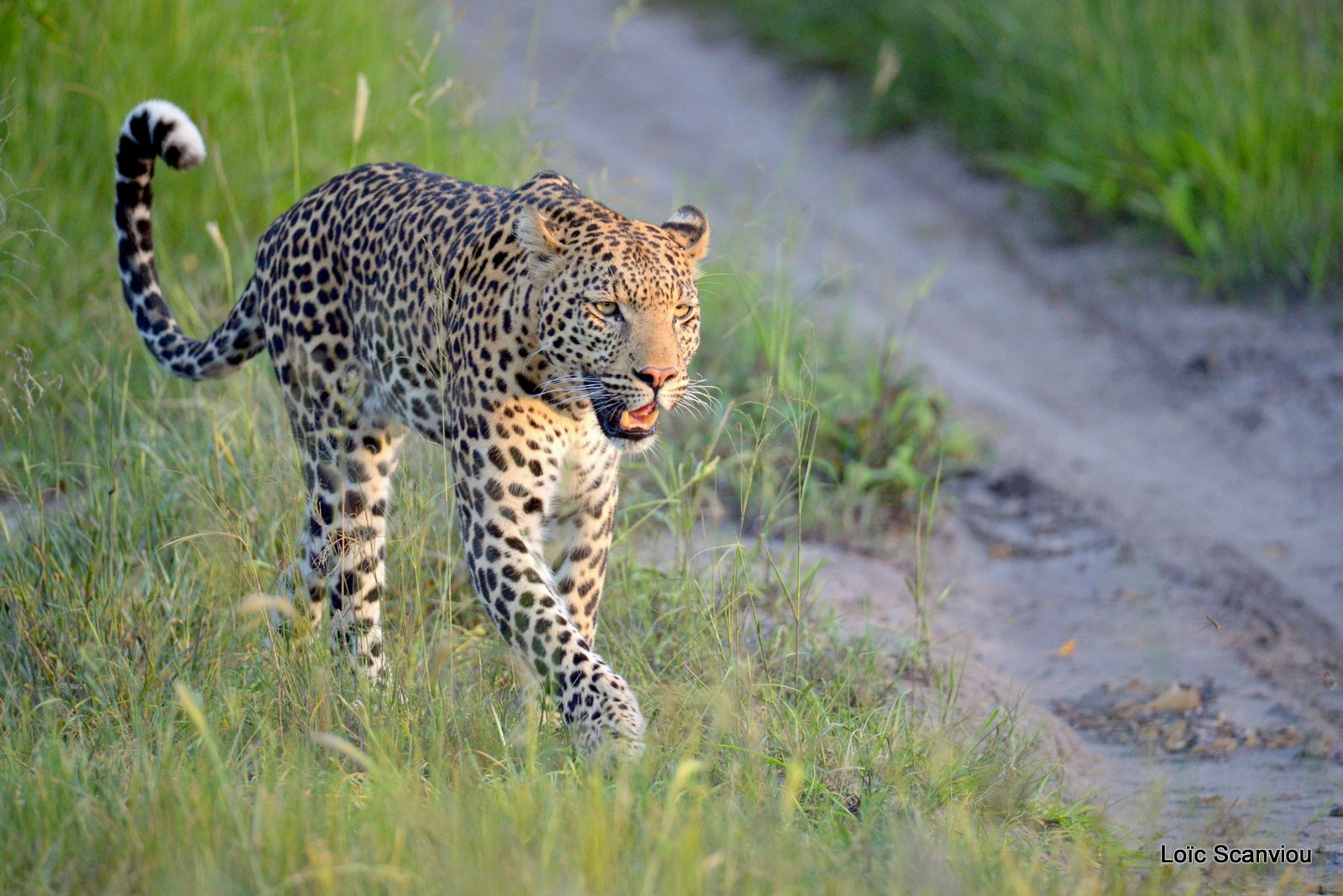 Léopard/Leopard (14)