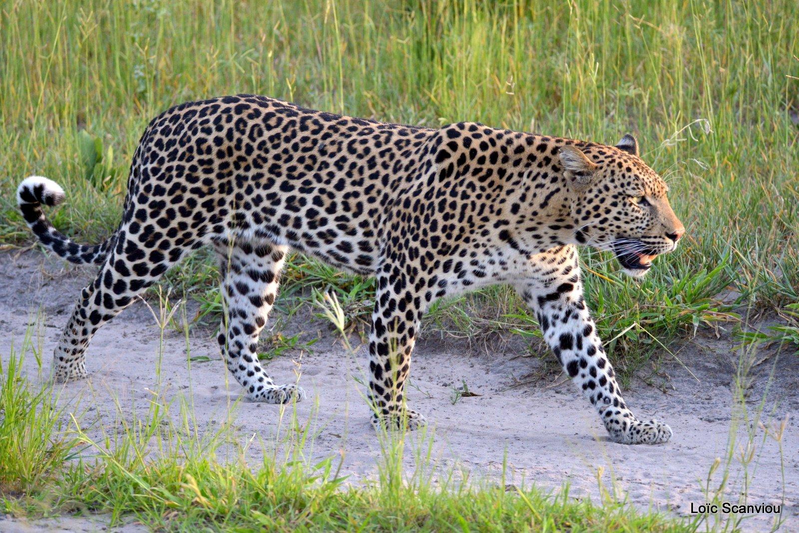 Léopard/Leopard (15)