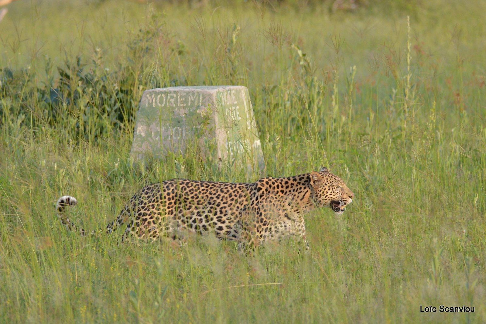Léopard/Leopard (16)