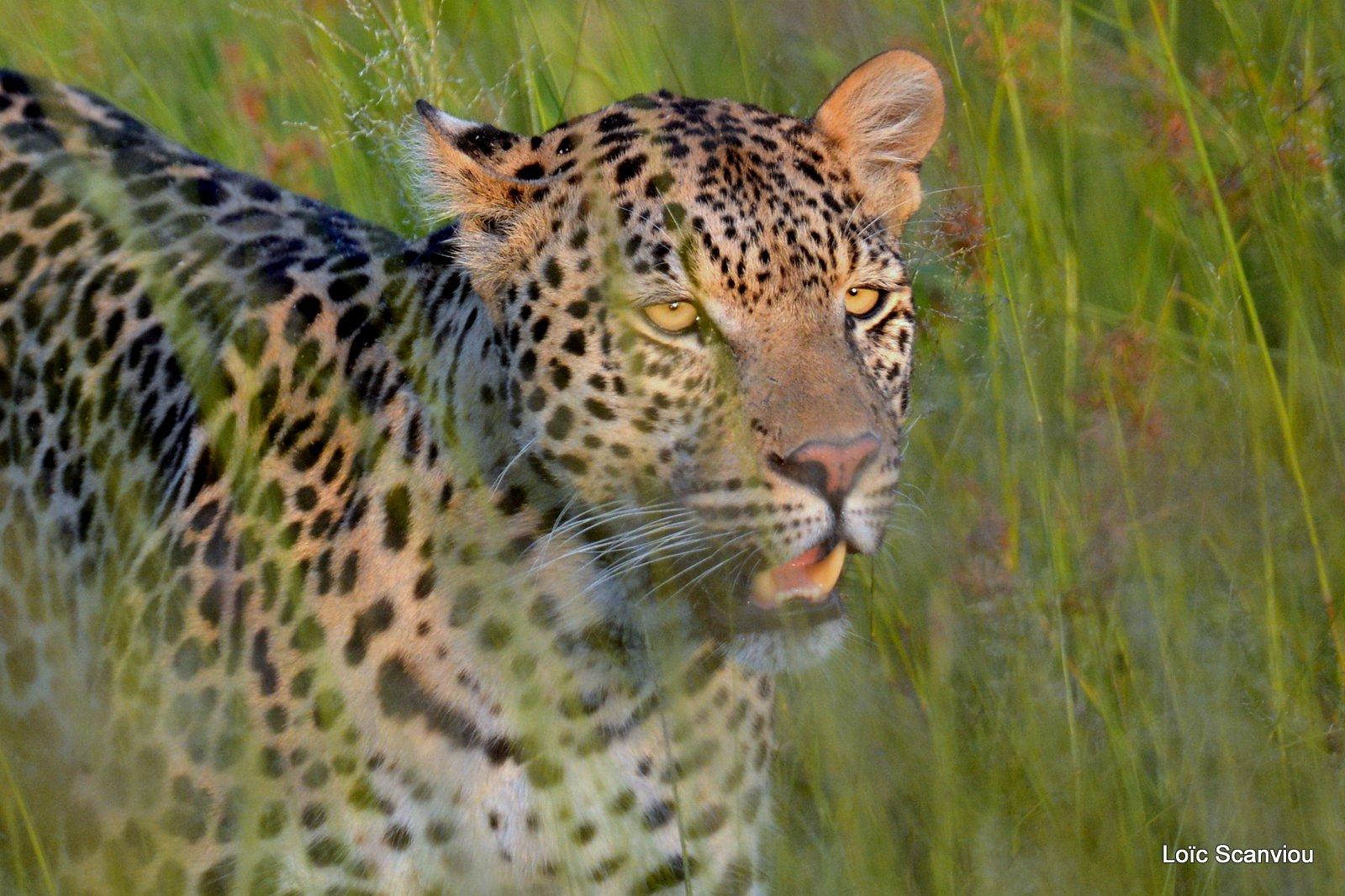 Léopard/Leopard (17)