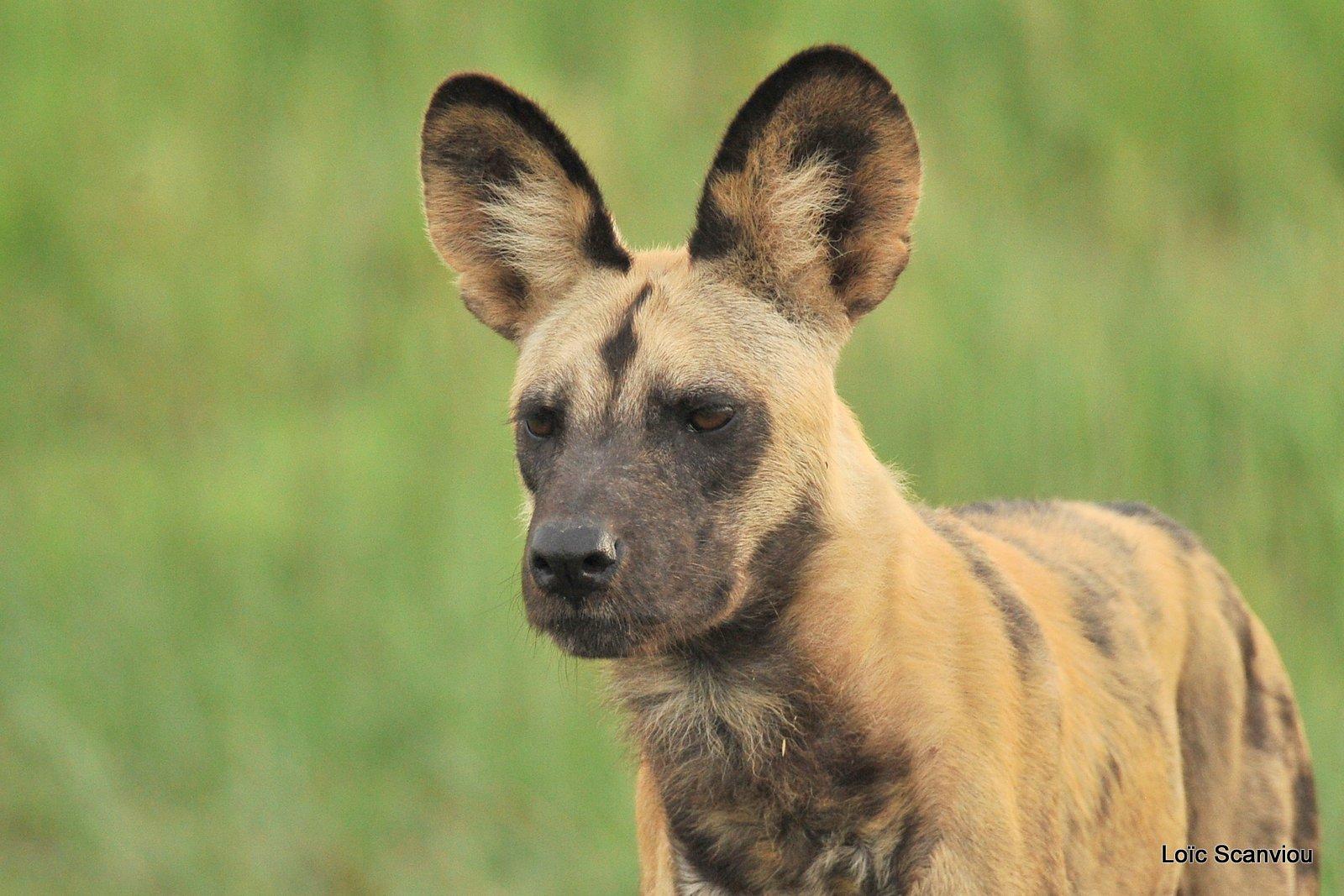 Lycaon/African Wild Dog (1)