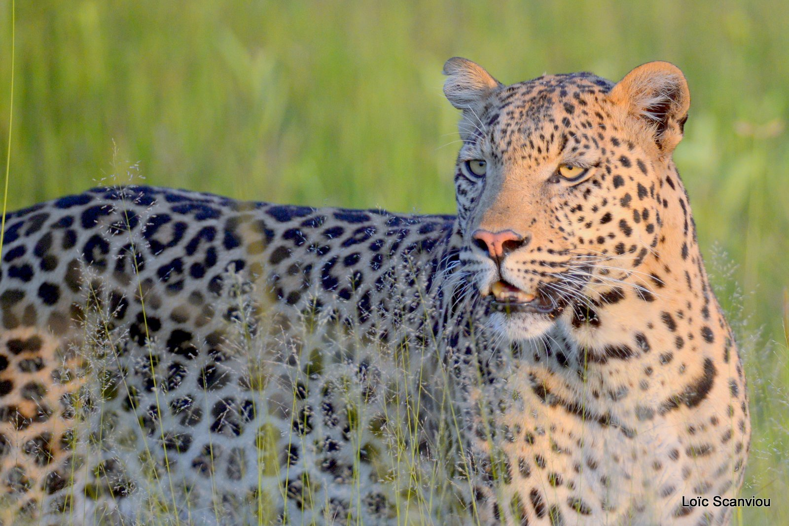 Léopard/Leopard (18)