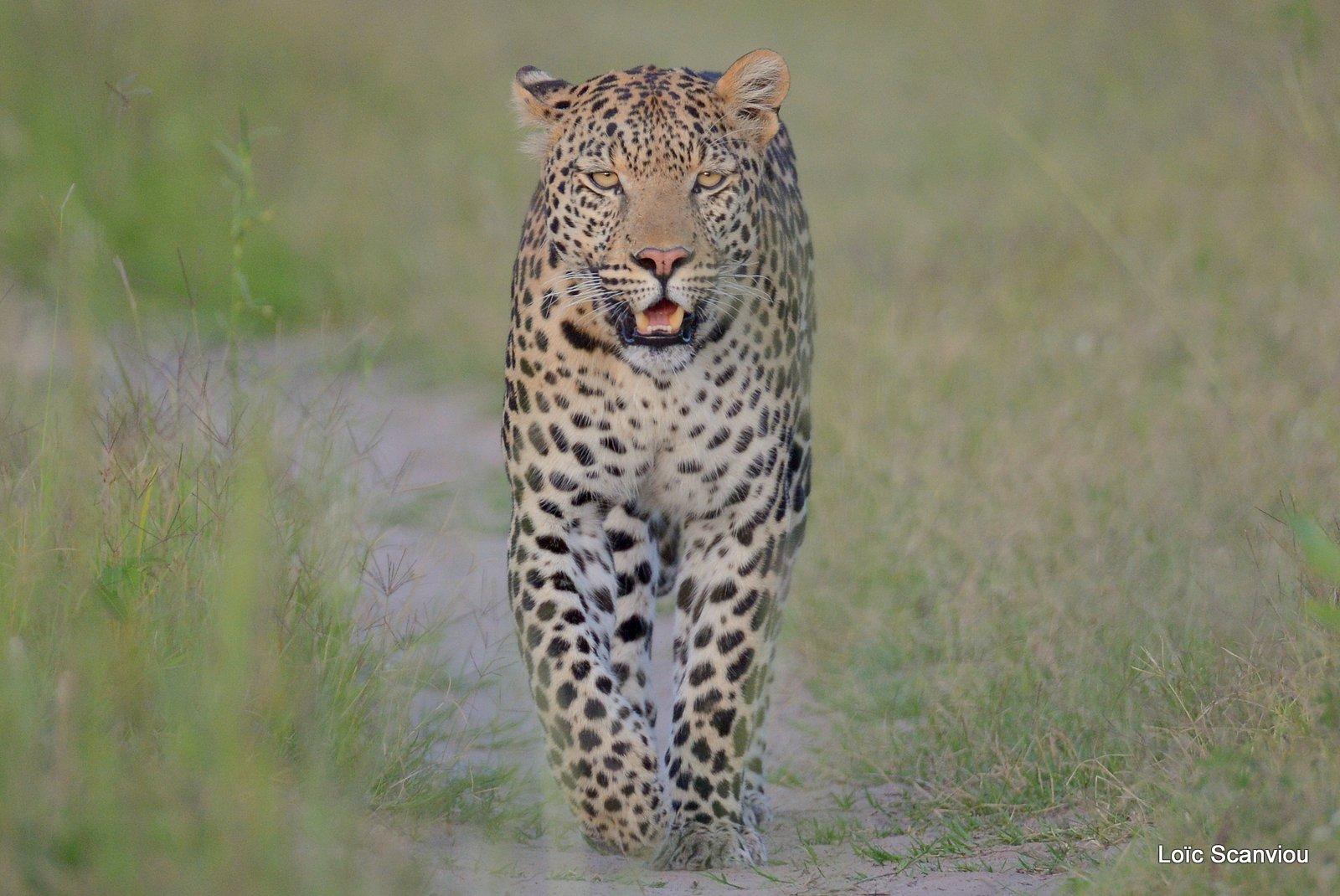 Léopard/Leopard (20)