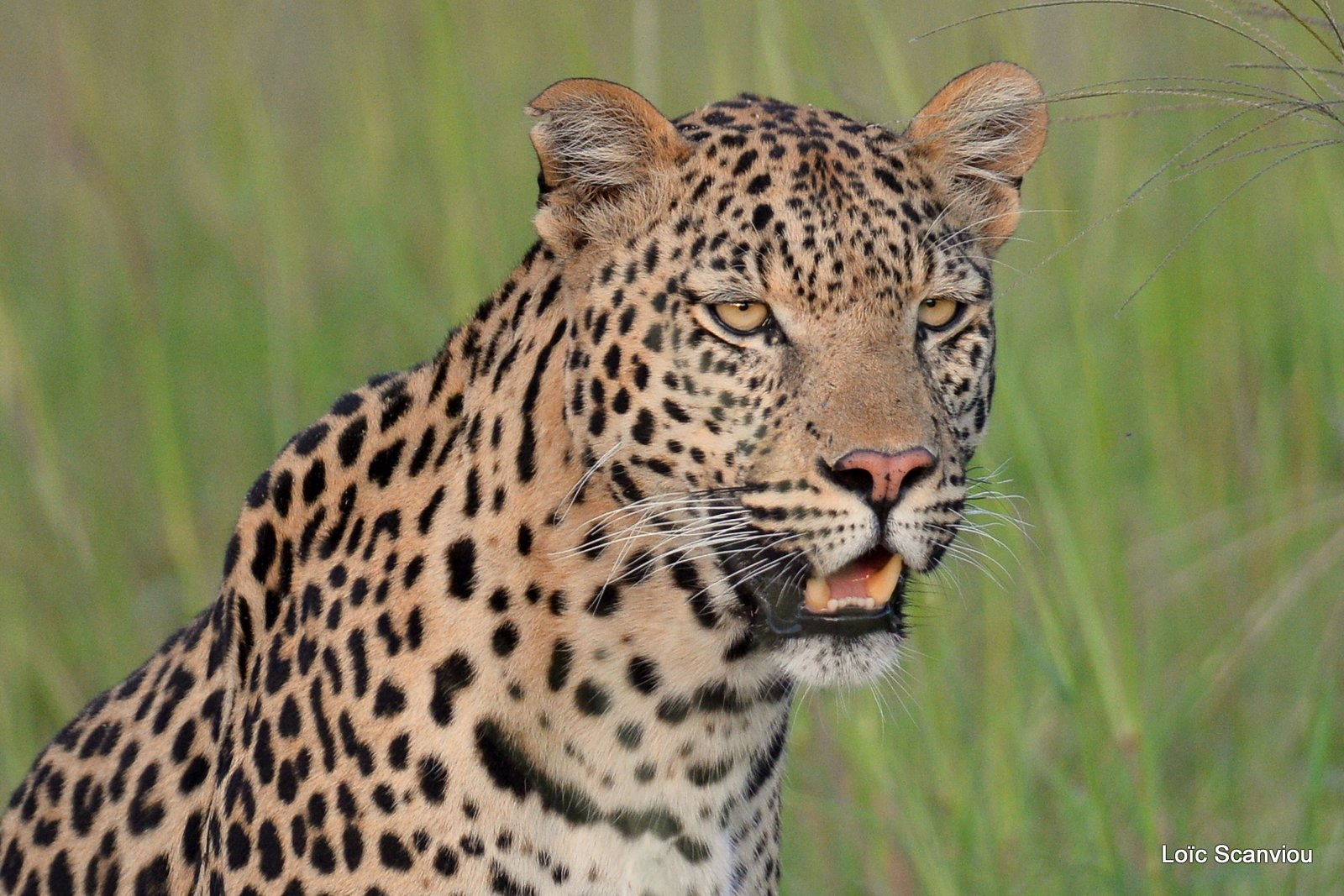 Léopard/Leopard (21)