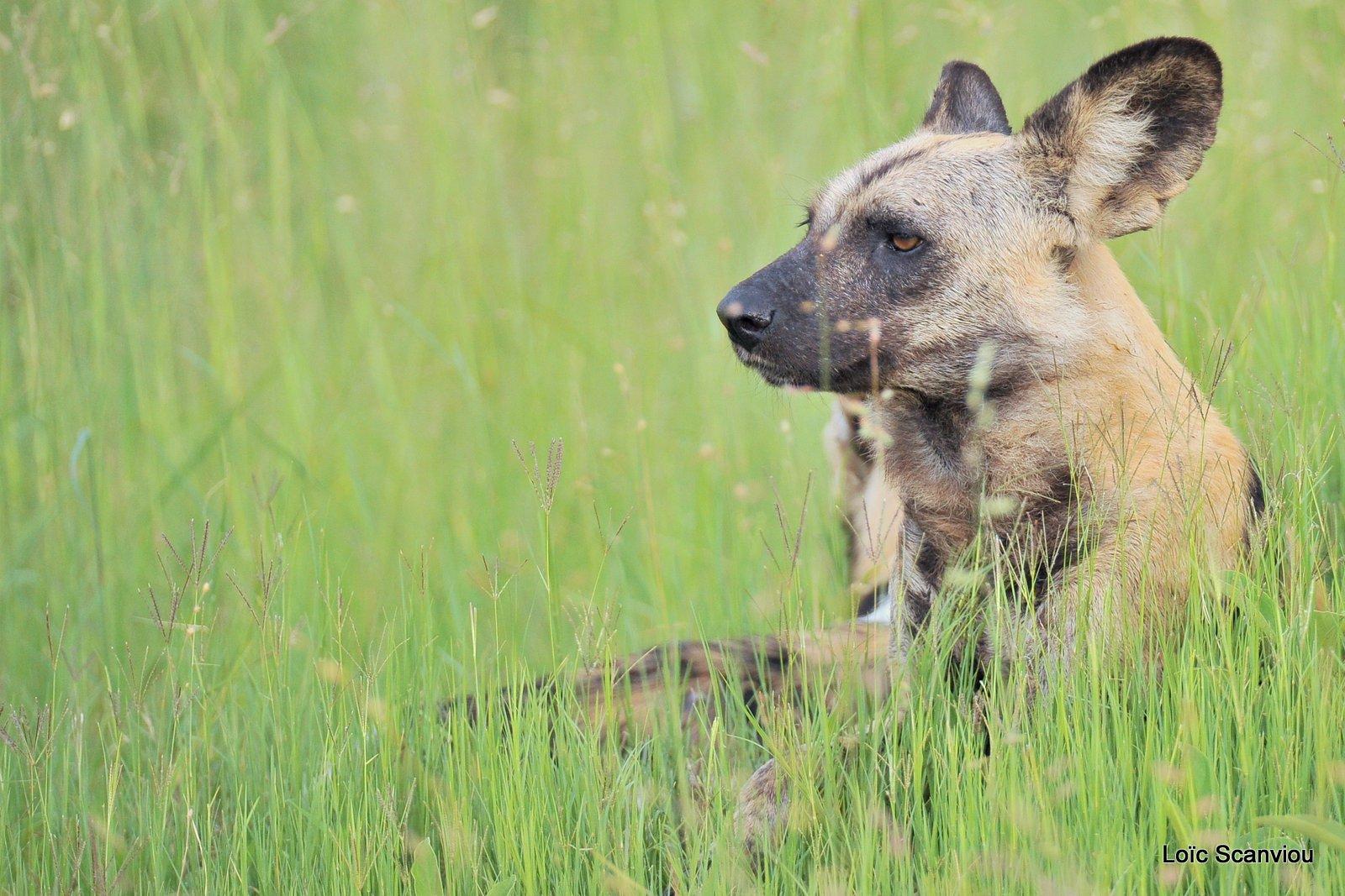 Lycaon/African Wild Dog (3)