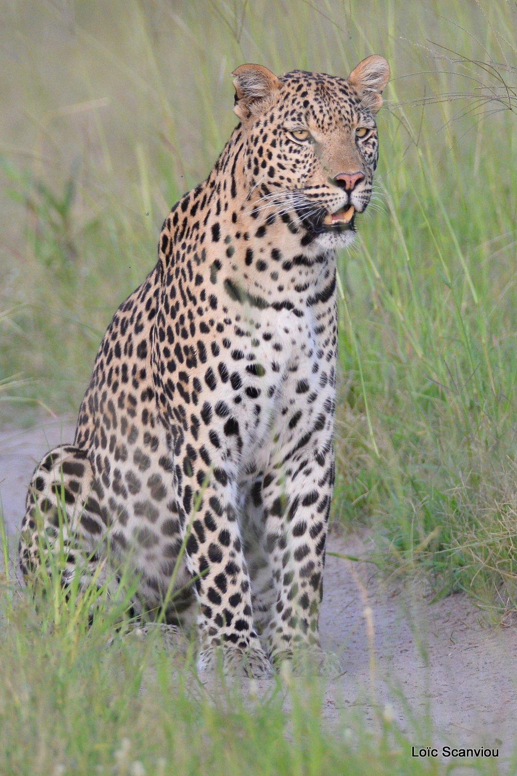 Léopard/Leopard (22)