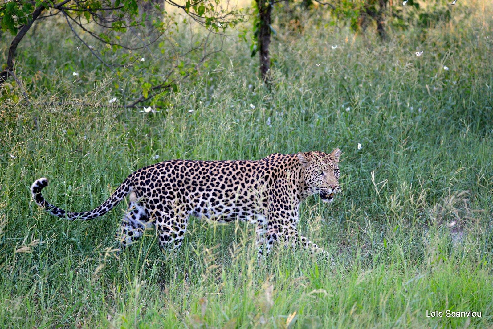 Léopard/Leopard (23)