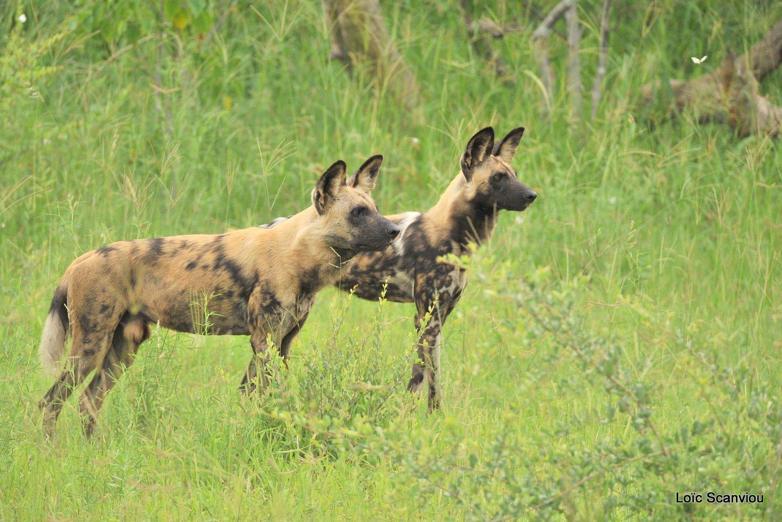 Lycaon/African Wild Dog (5)