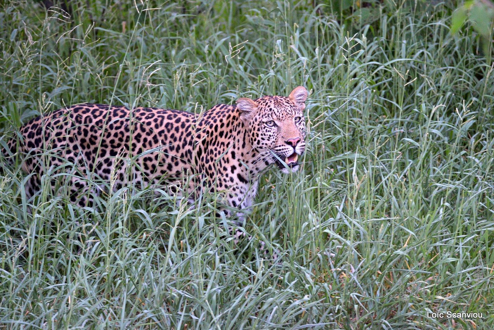 Léopard/Leopard (24)