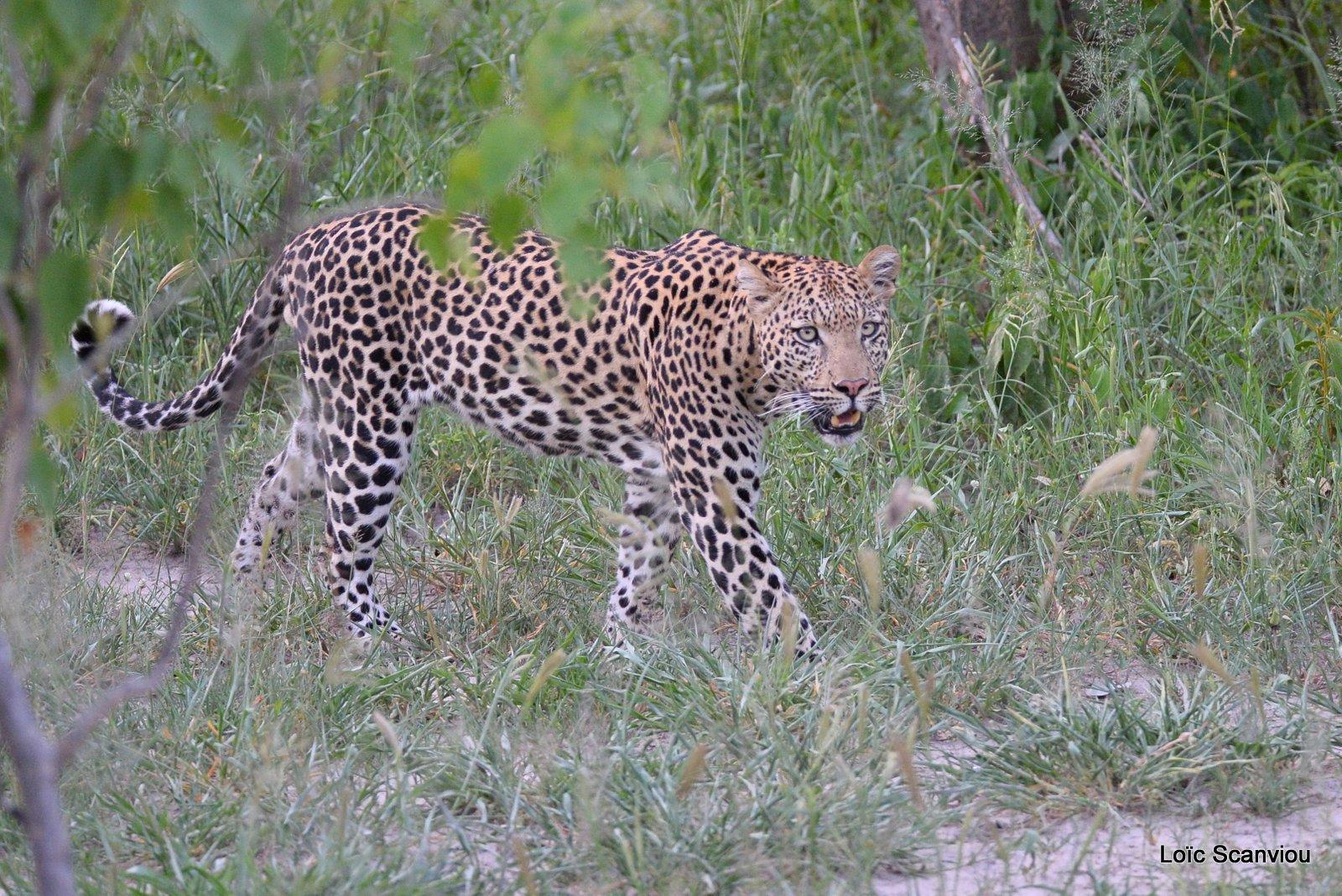 Léopard/Leopard (25)