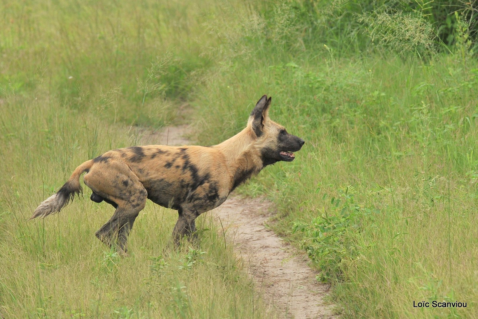 Lycaon/African Wild Dog (6)