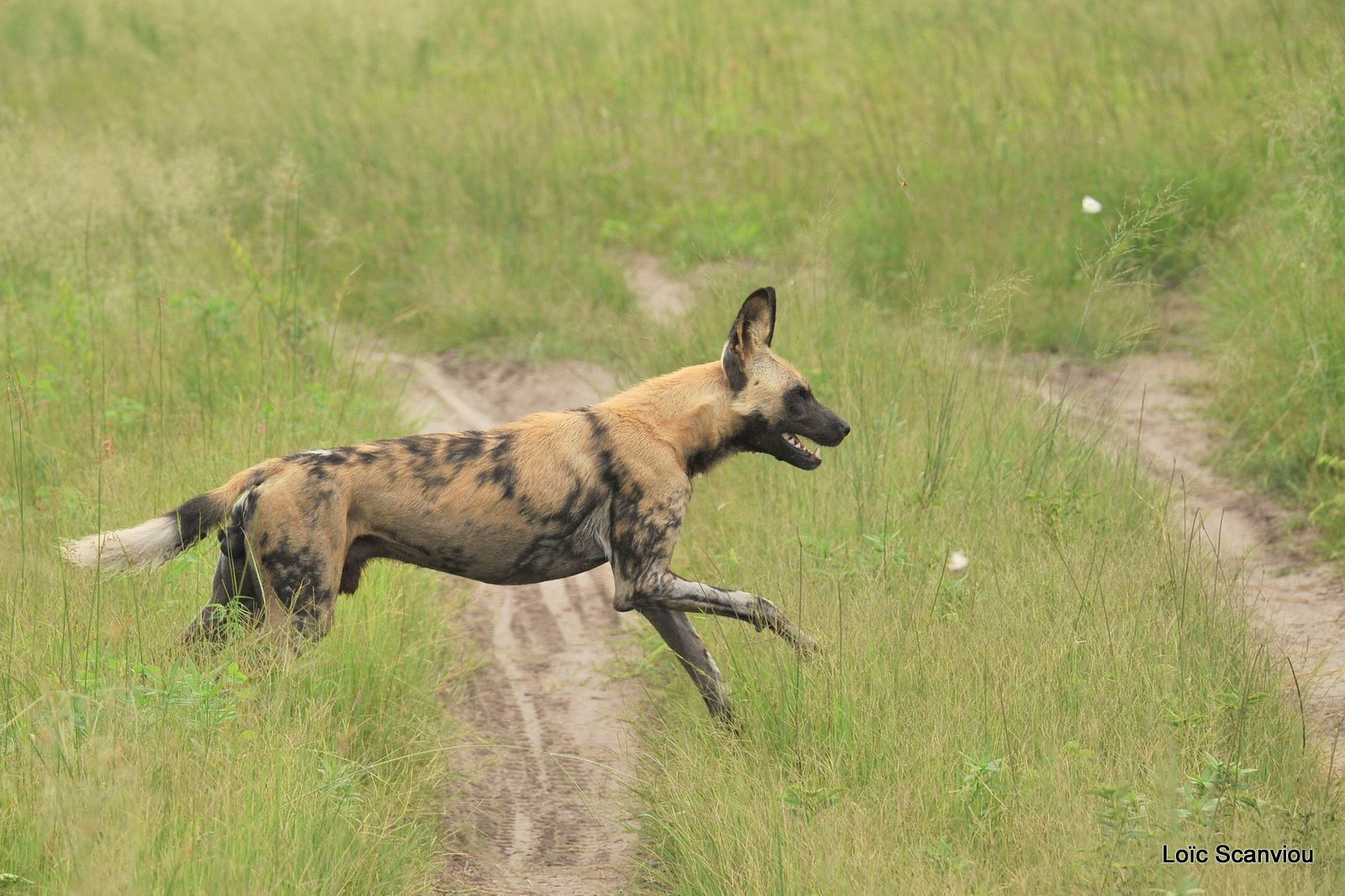Lycaon/African Wild Dog (7)