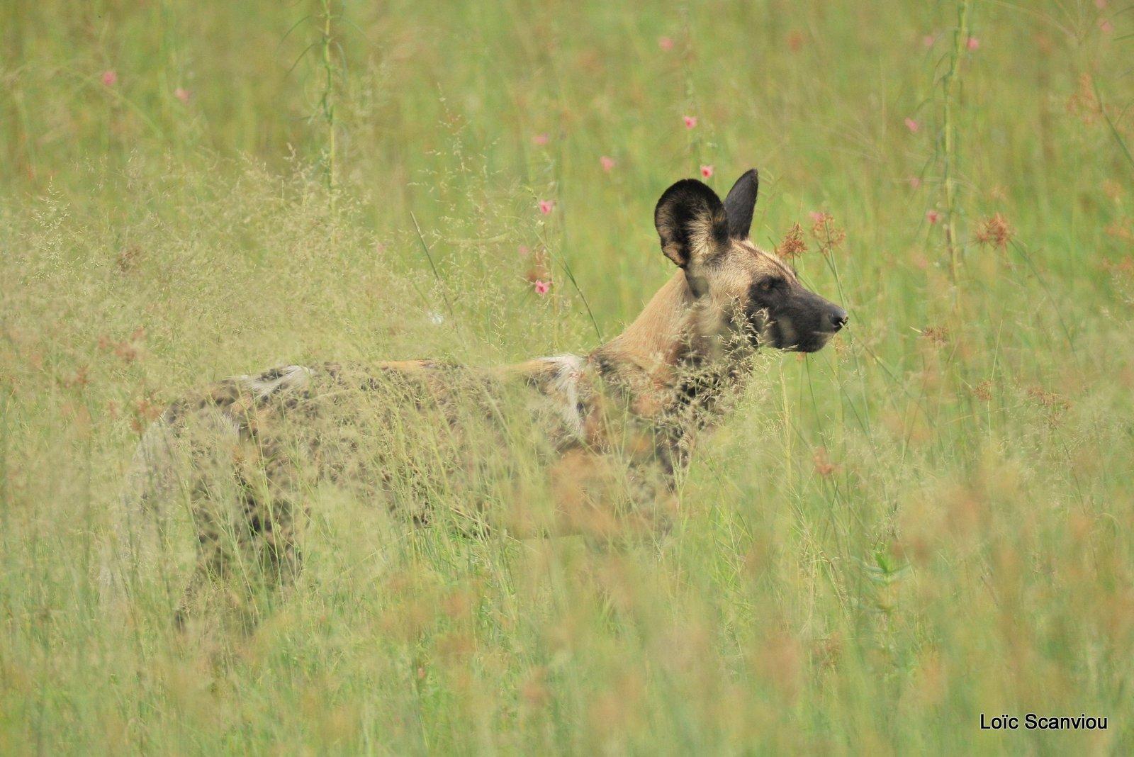 Lycaon/African Wild Dog (8)