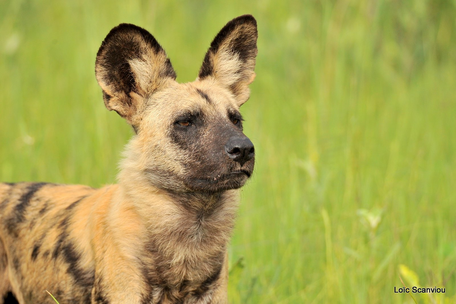 Lycaon/African Wild Dog (9)