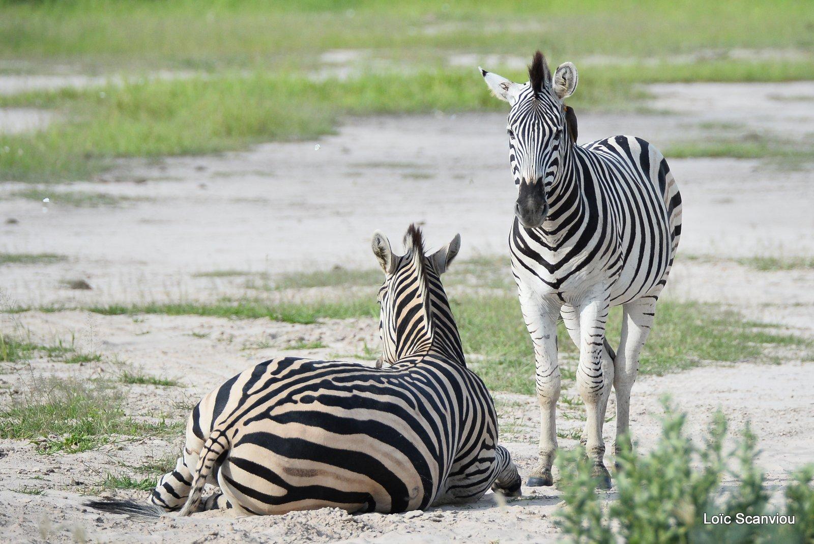 Zèbres/Zebras (1)