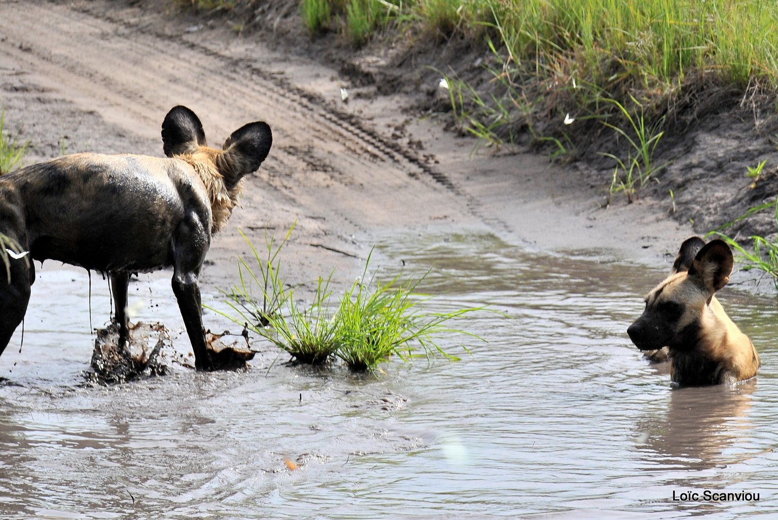 Lycaon/African Wild Dog (13)