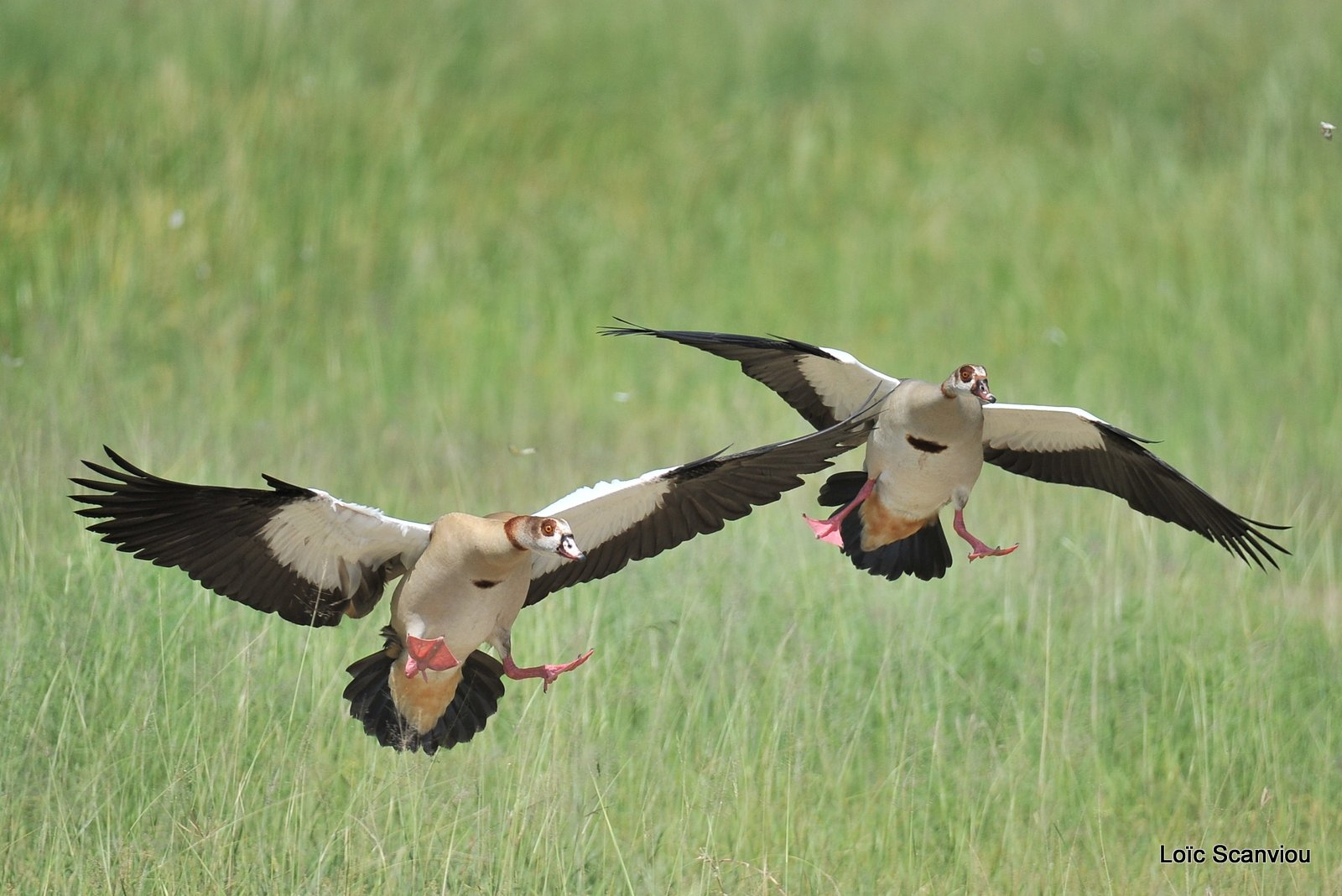 Ouettes d'Egypte/Egyptian Geese (2)