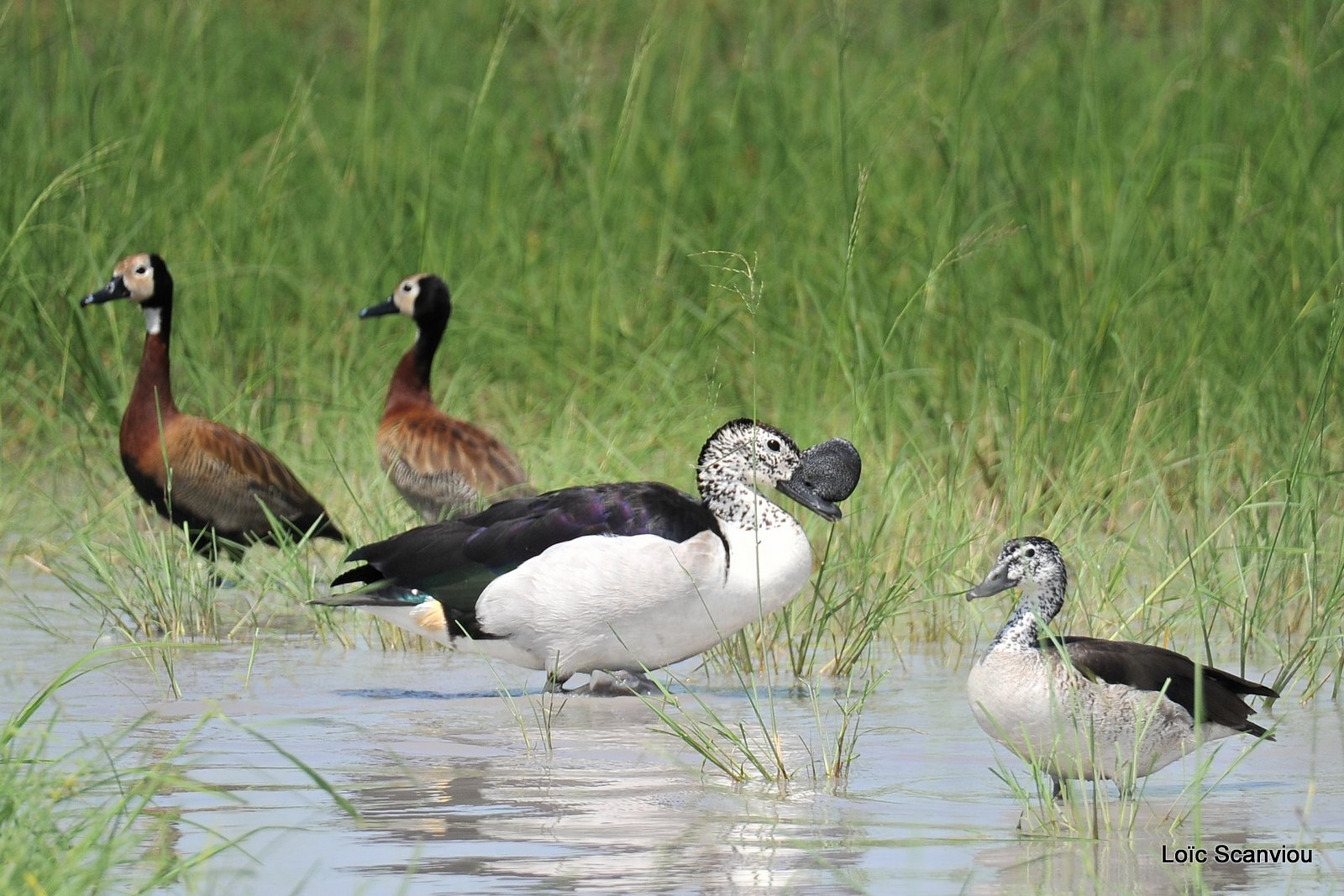 Canard à bosse et dendrocygne veuf/Comb Duck and White-faced Duck (1)