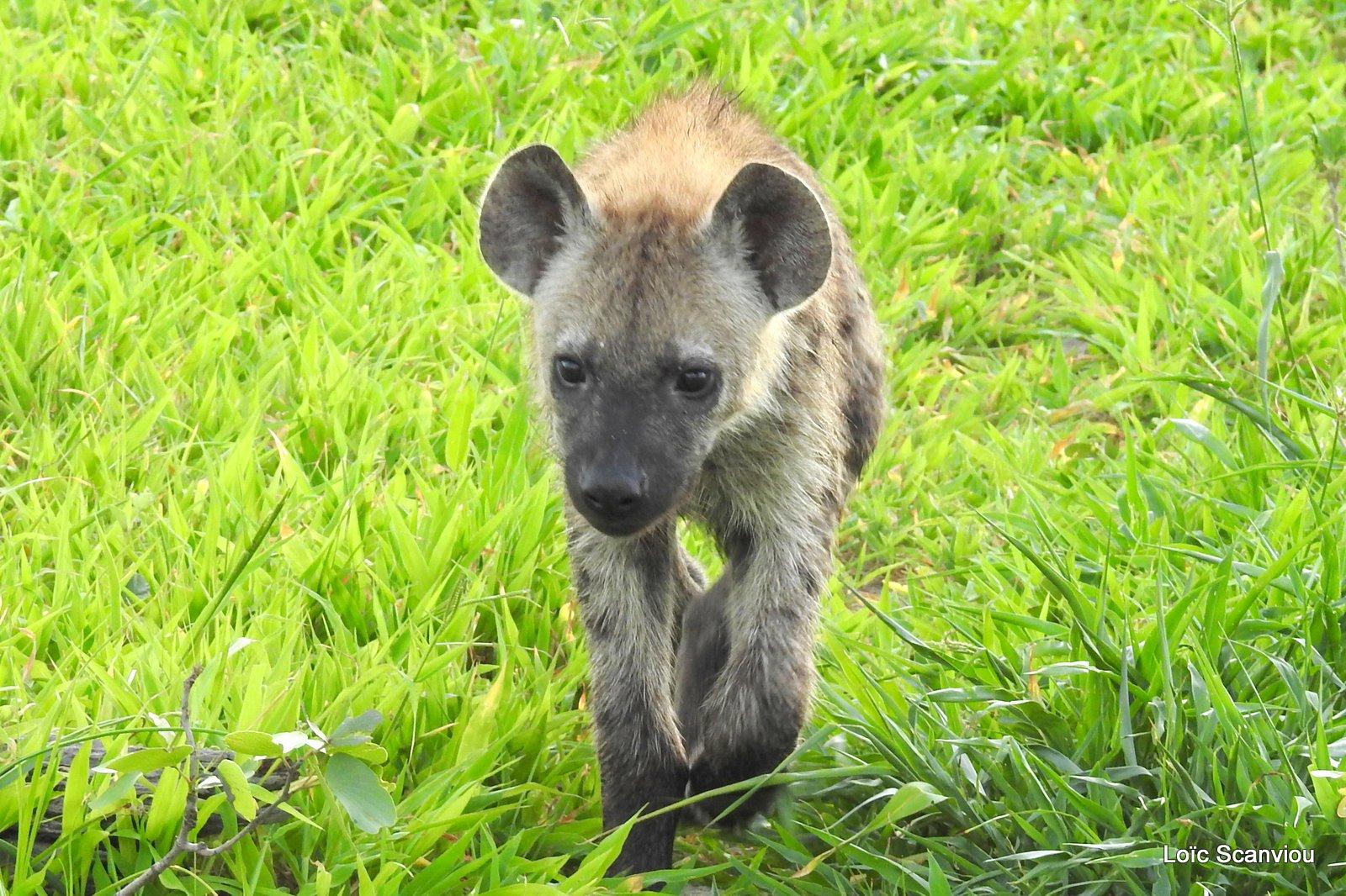 Hyène tachetée/Spotted Hyena (18)