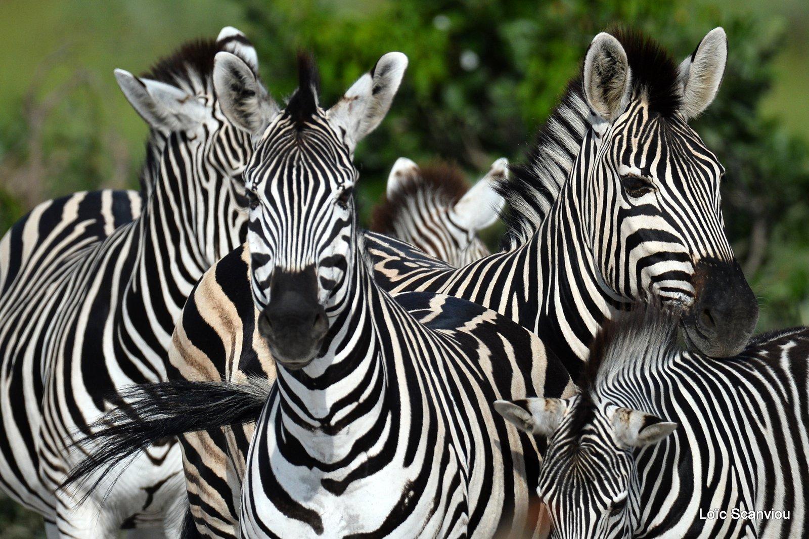 Zèbres/Zebras (2)