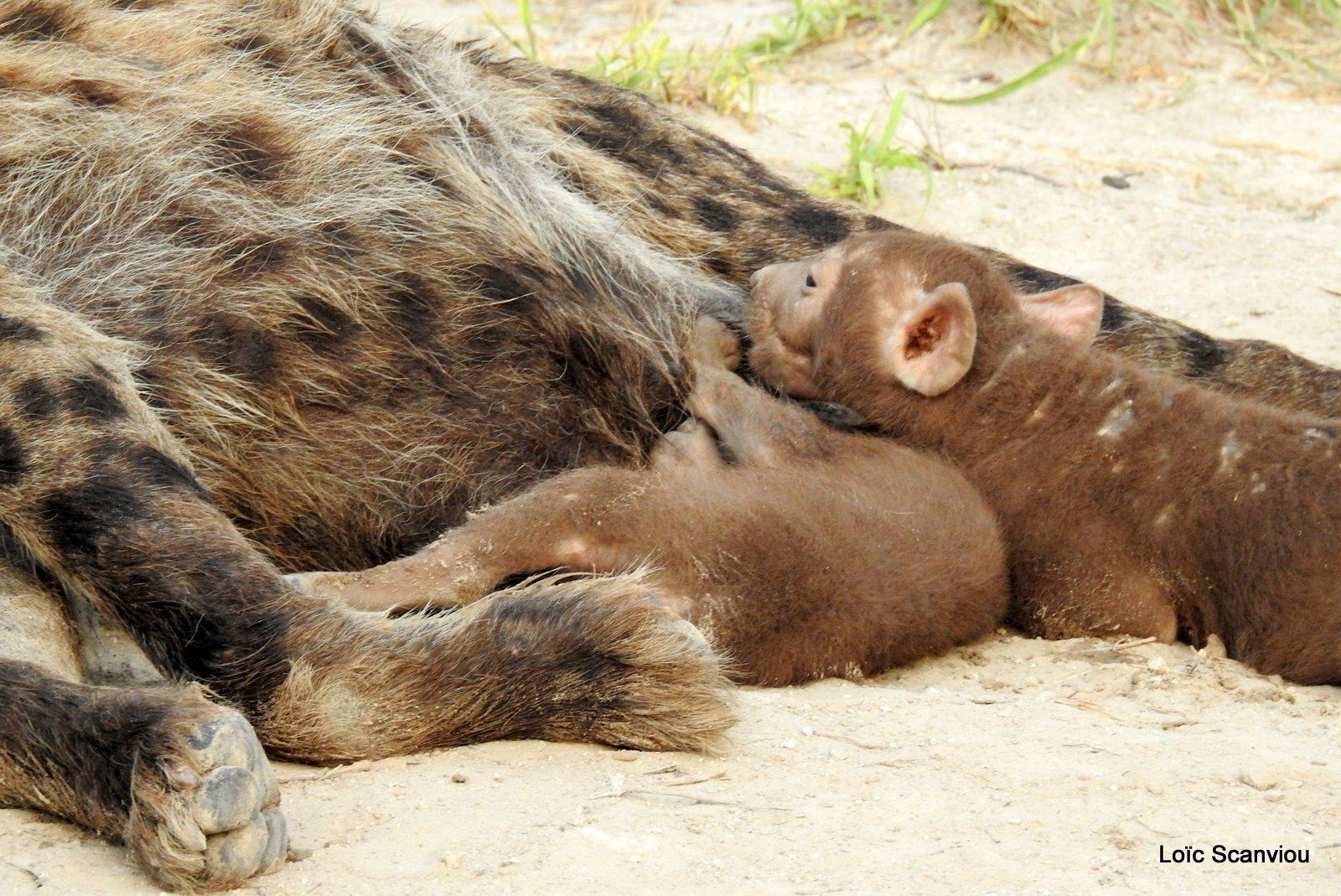 Hyène tachetée/Spotted Hyena (20)