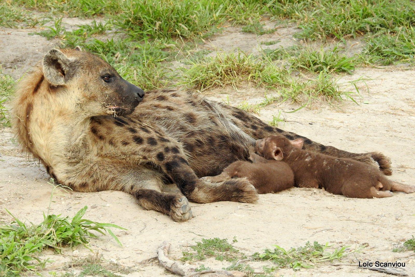 Hyène tachetée/Spotted Hyena (21)