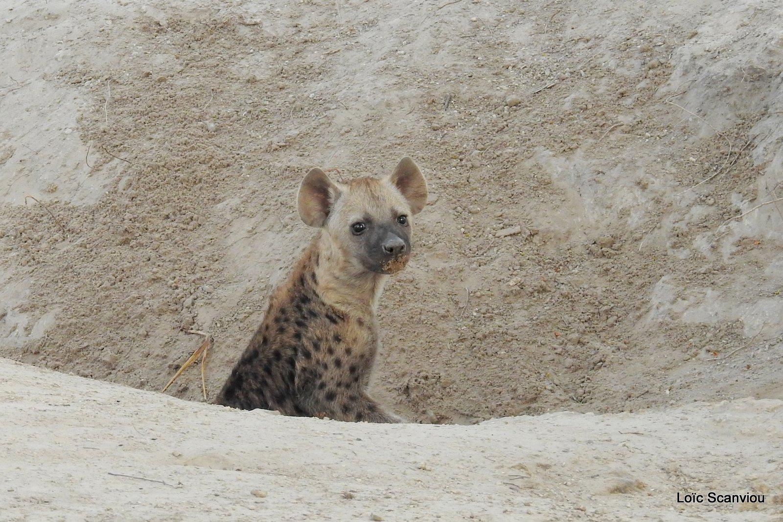 Hyène tachetée/Spotted Hyena (22)