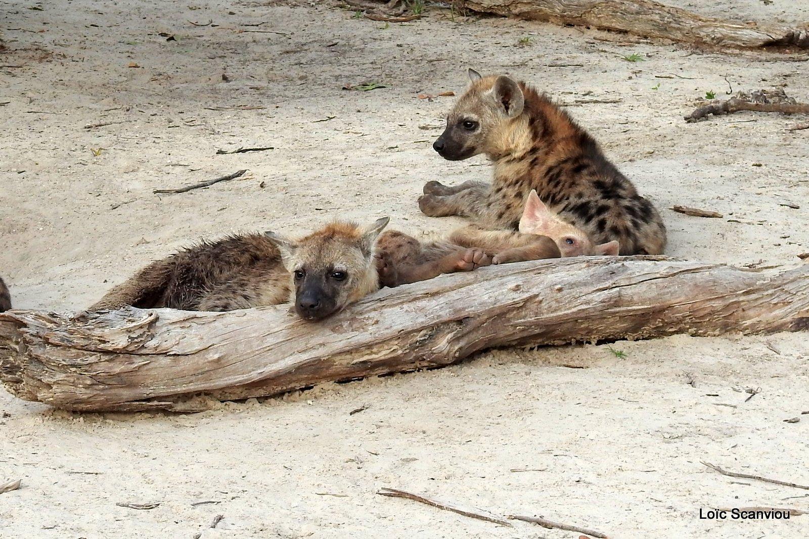 Hyène tachetée/Spotted Hyena (24)