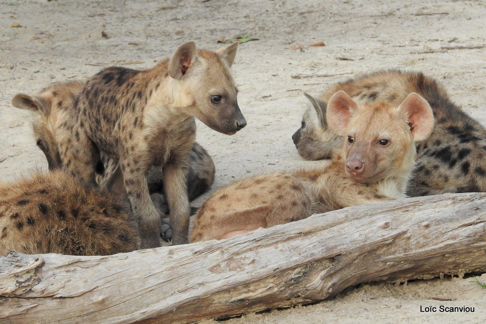 Hyène tachetée/Spotted Hyena (25)