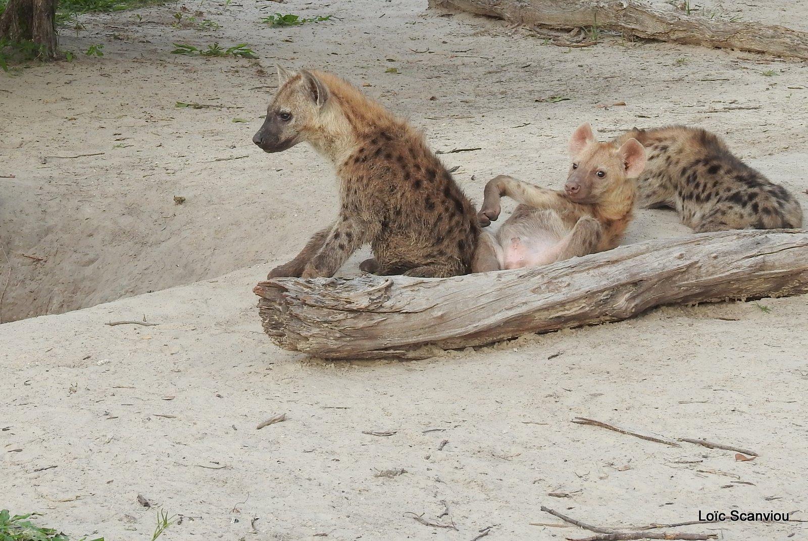 Hyène tachetée/Spotted Hyena (26)