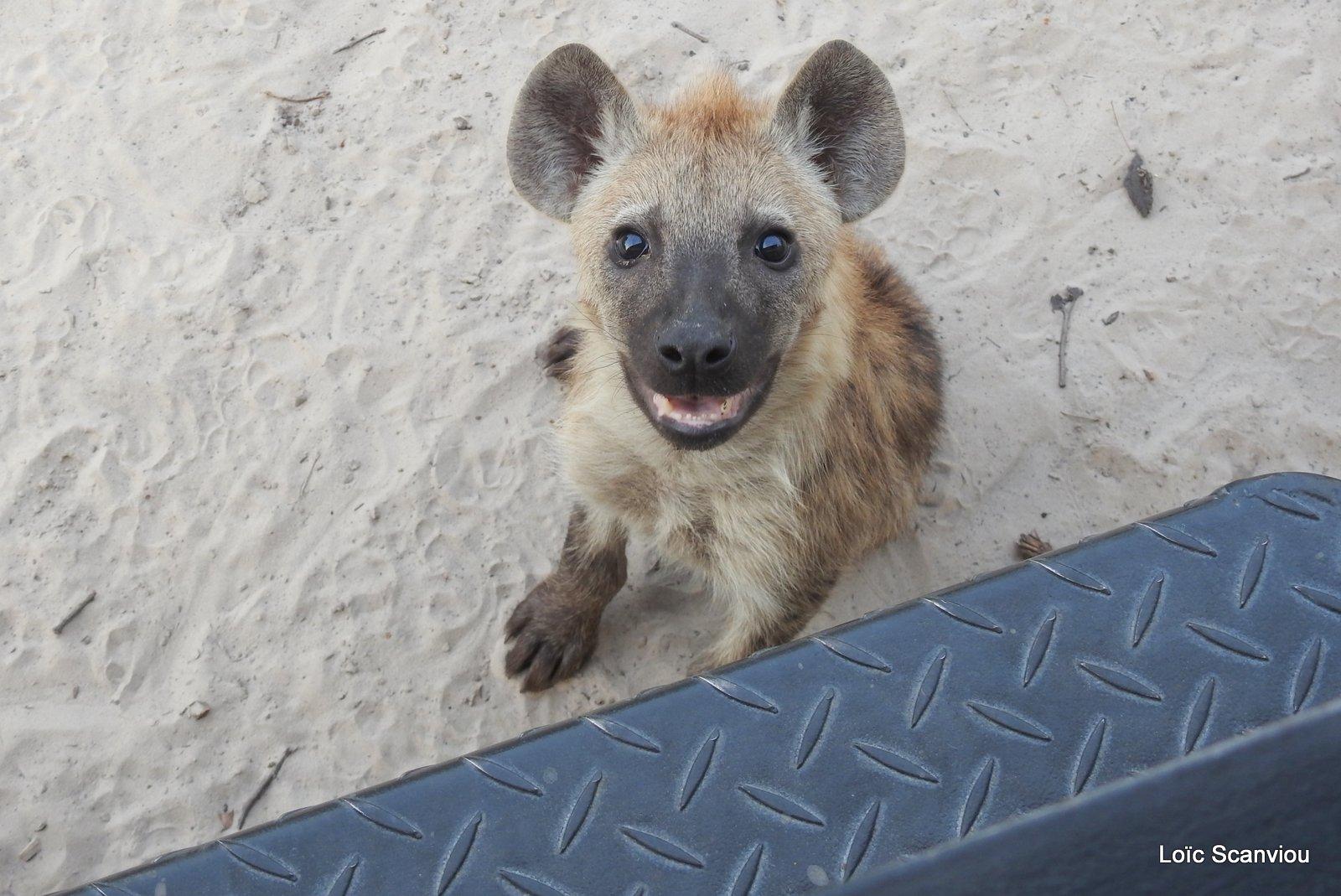 Hyène tachetée/Spotted Hyena (27)