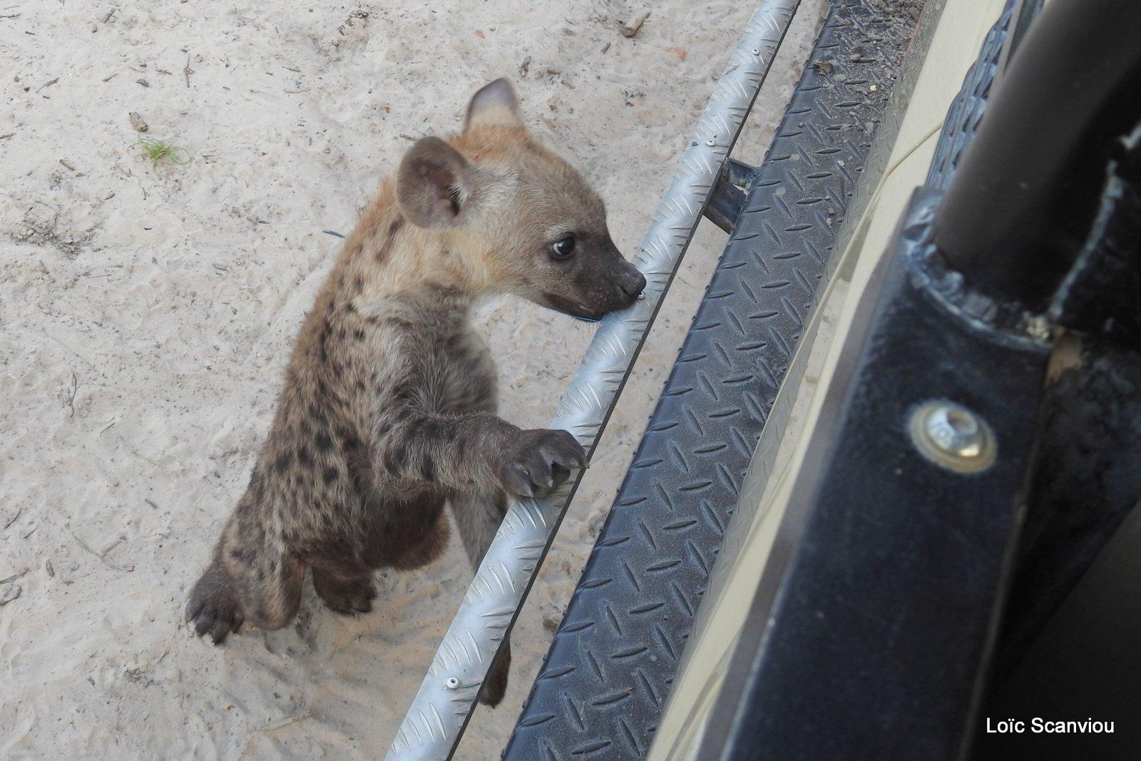 Hyène tachetée/Spotted Hyena (28)