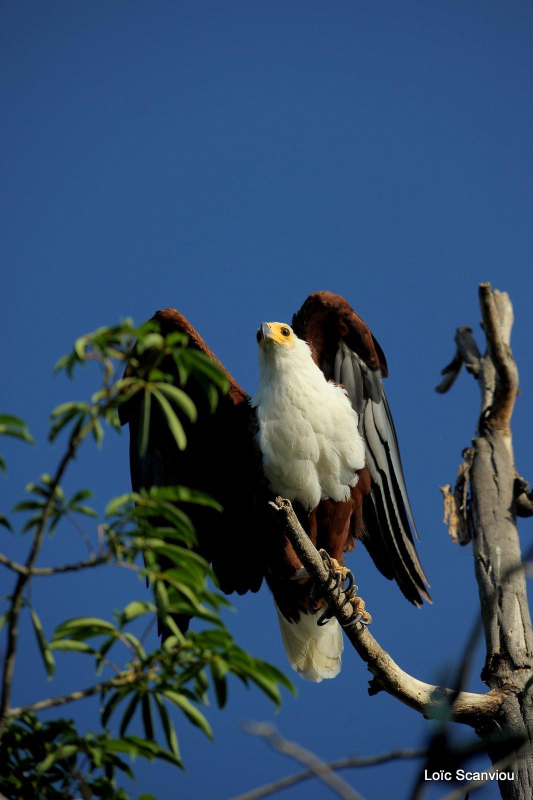 Aigle vocifère/African Fish Eagle (2)