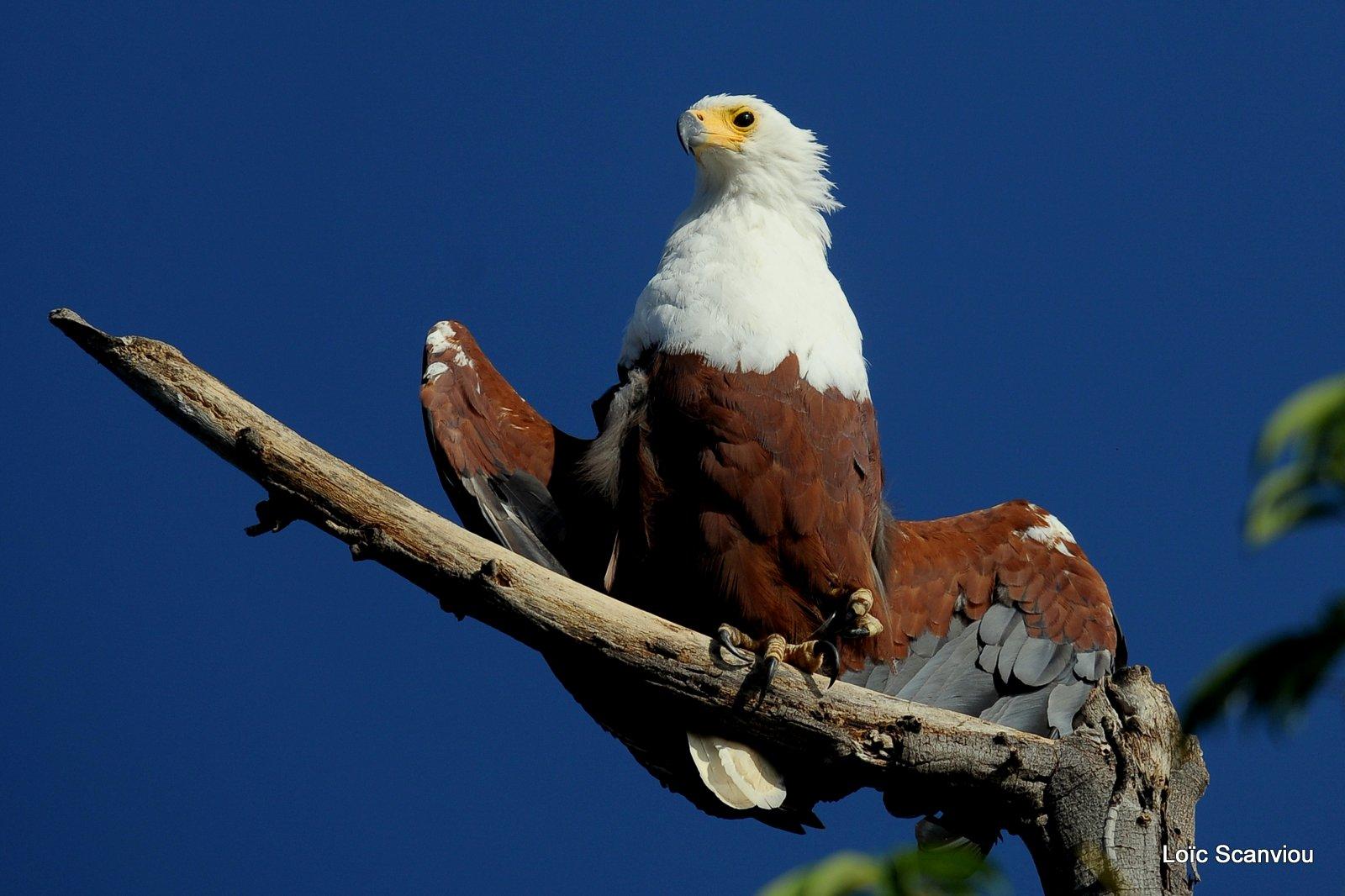 Aigle vocifère/African Fish Eagle (4)