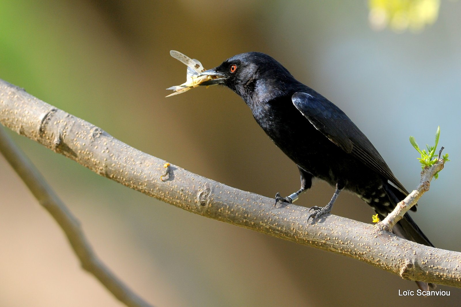 Drongo brillant/Fork-tailed Drongo (1)