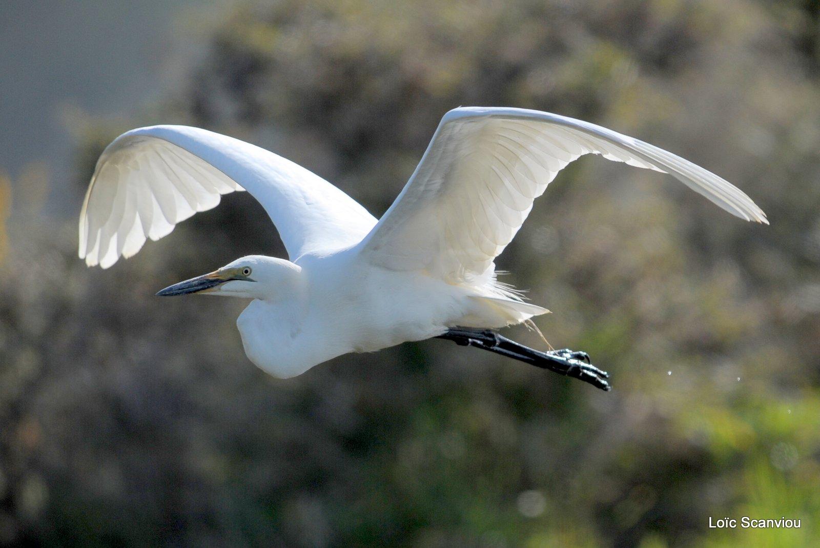 Aigrette/Egret (2)