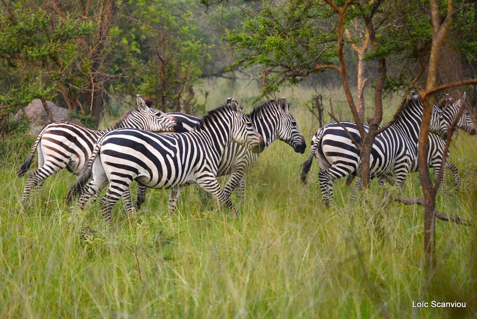 Zèbre de Burchell/Burchell's Zebra (1)