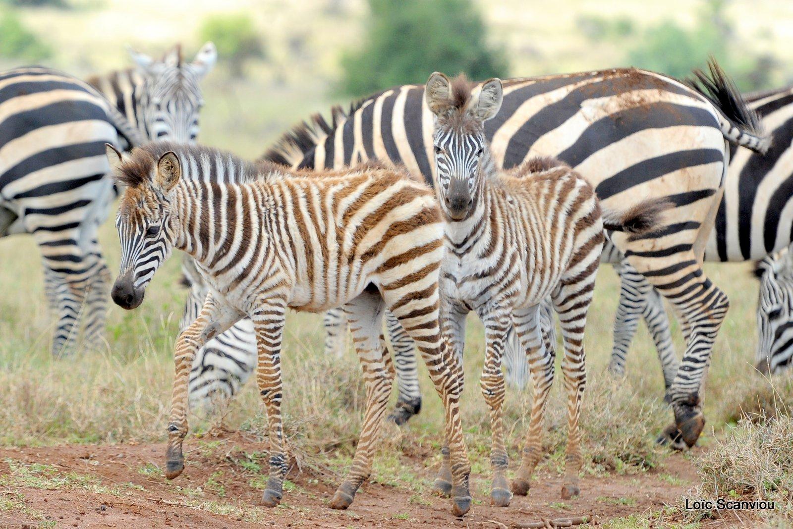 Zèbre/Zebra (1)